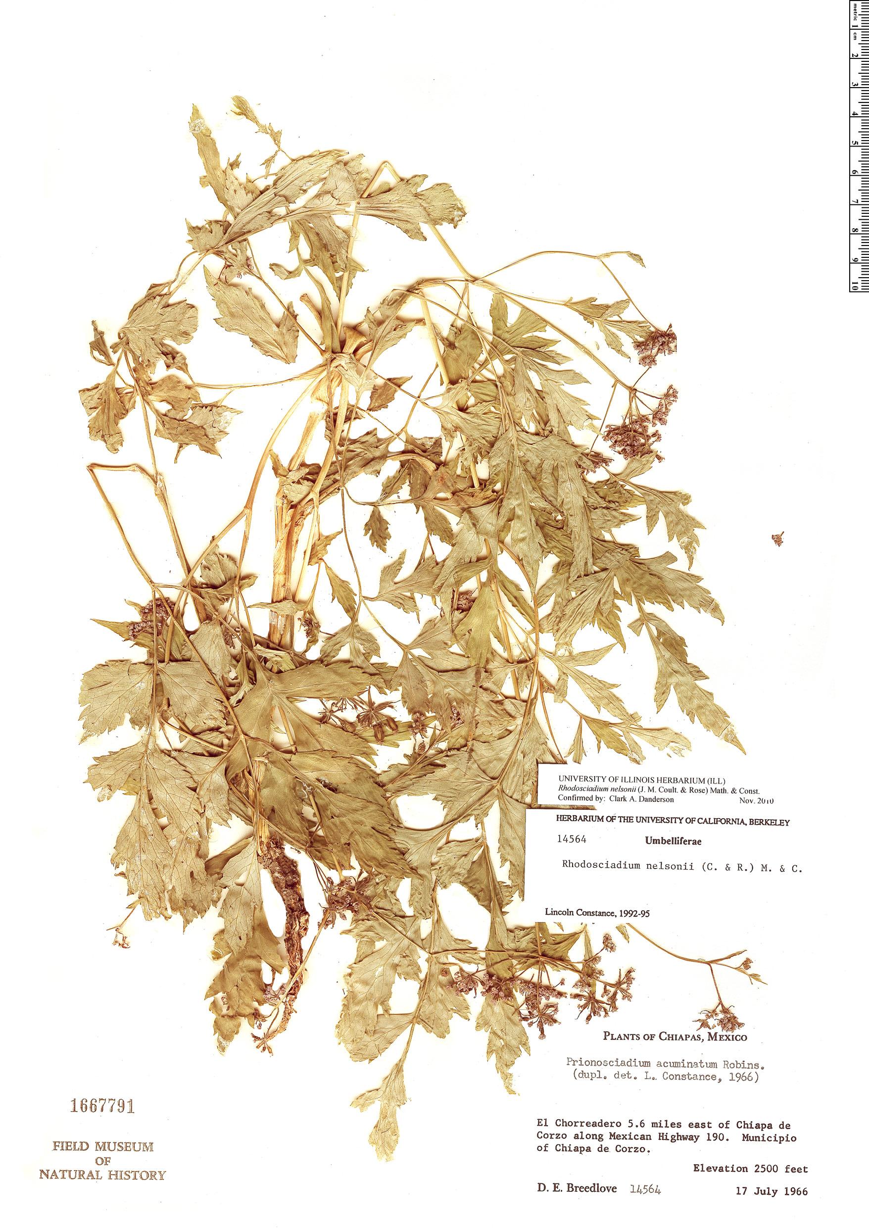 Specimen: Rhodosciadium nelsonii
