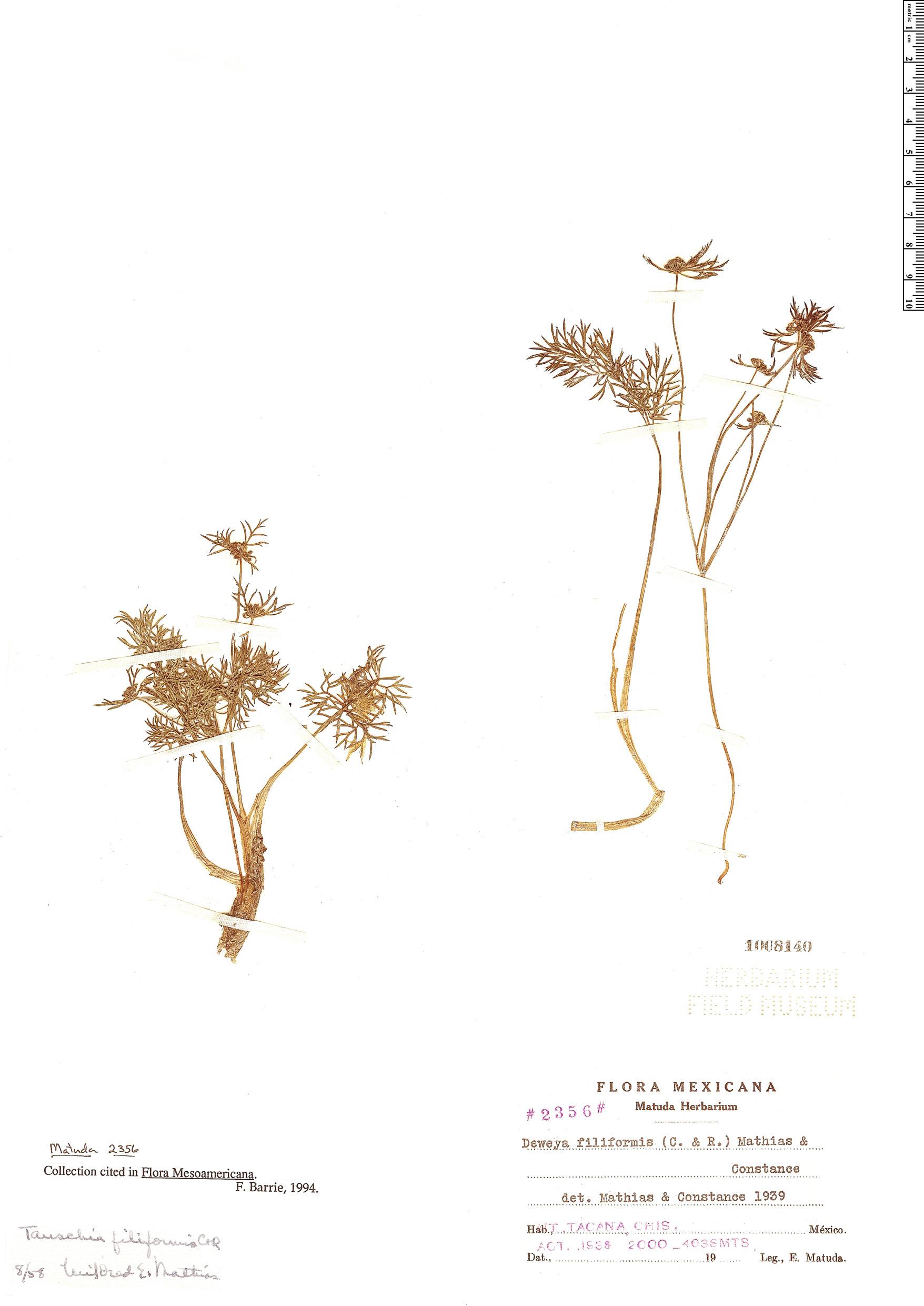 Espécimen: Tauschia filiformis
