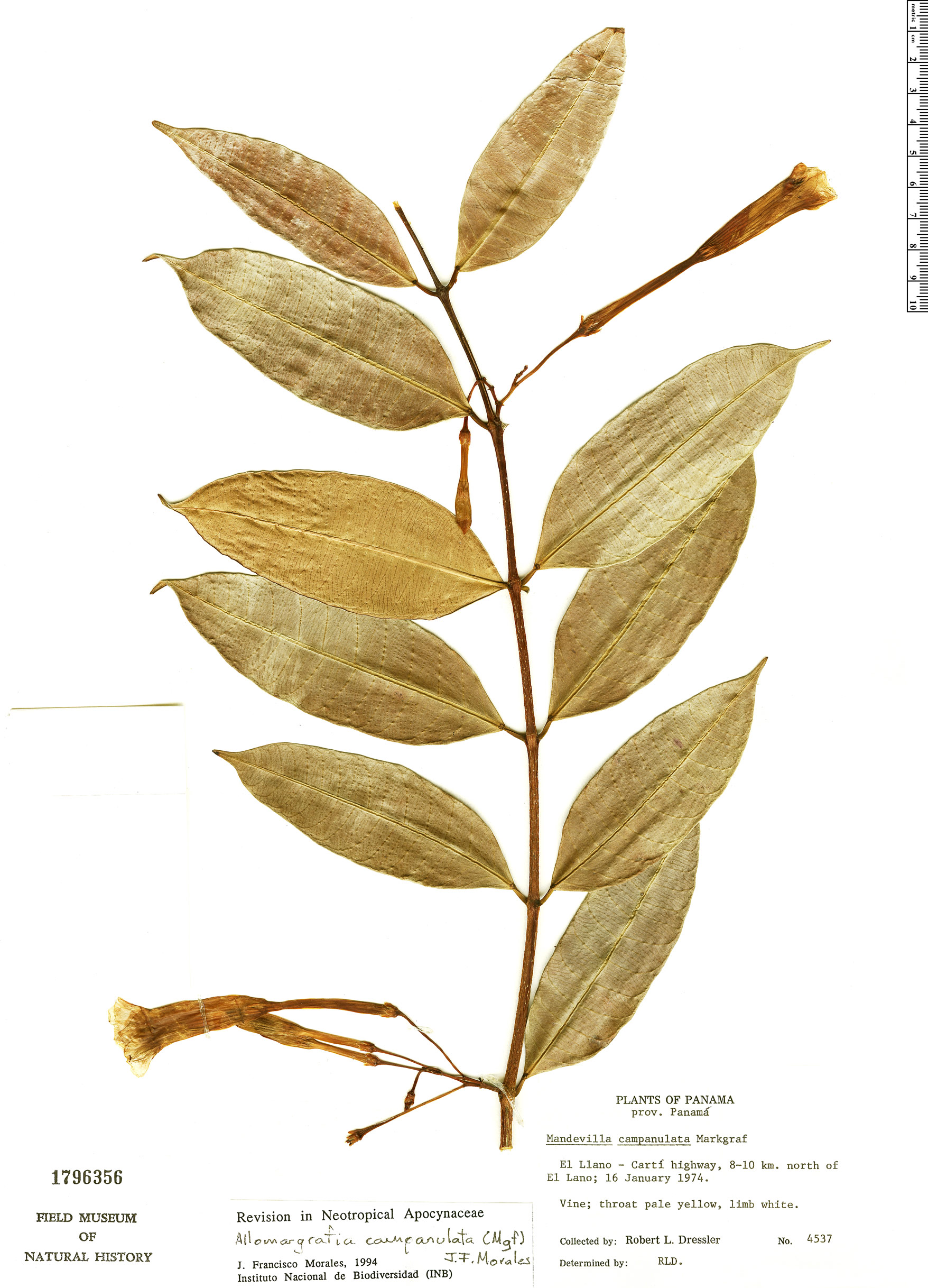 Specimen: Allomarkgrafia campanulata