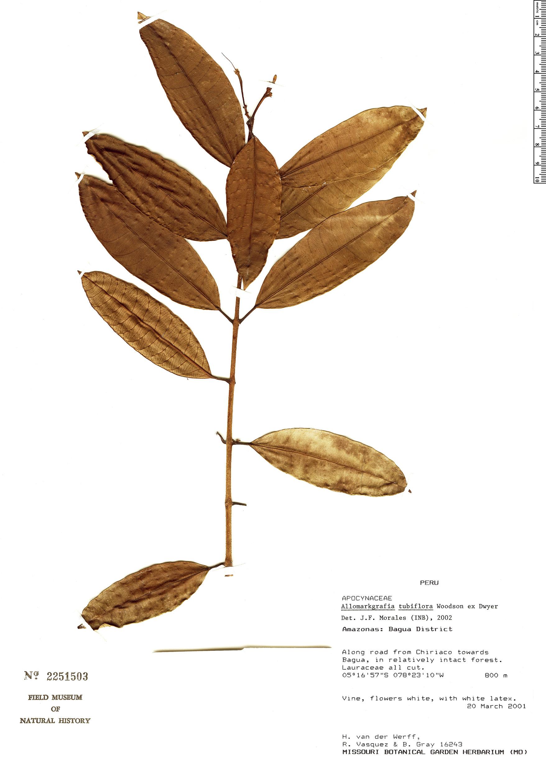 Specimen: Allomarkgrafia tubiflora