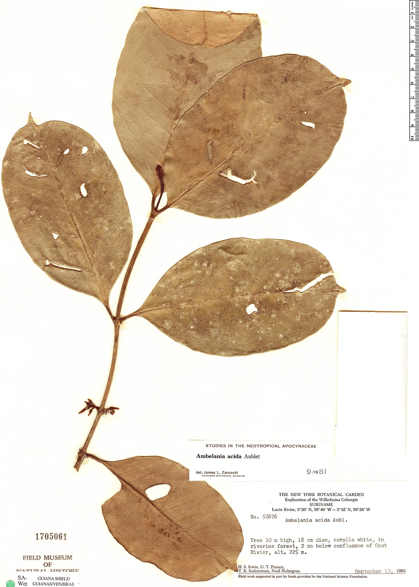 Specimen: Ambelania acida