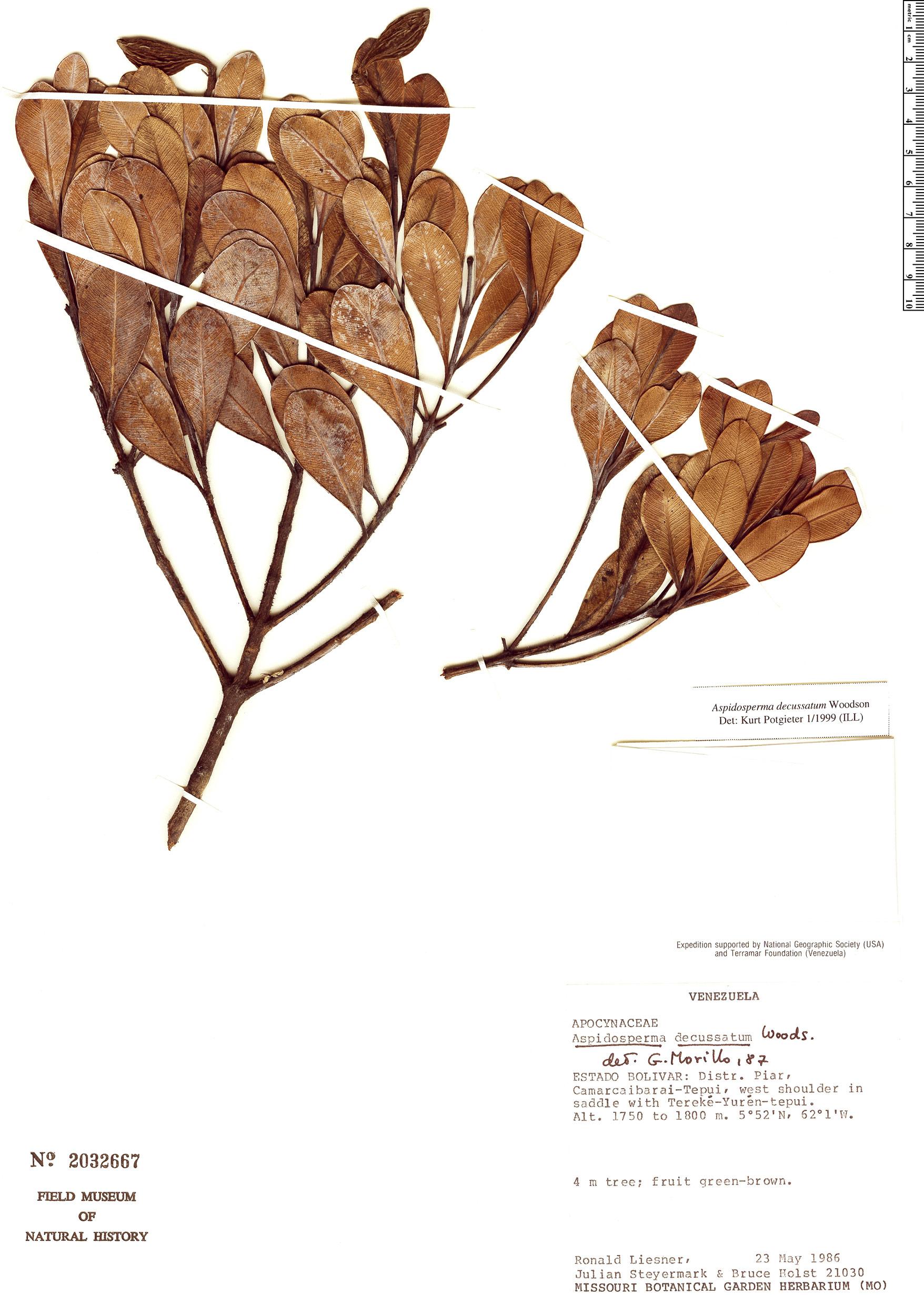 Specimen: Aspidosperma decussatum
