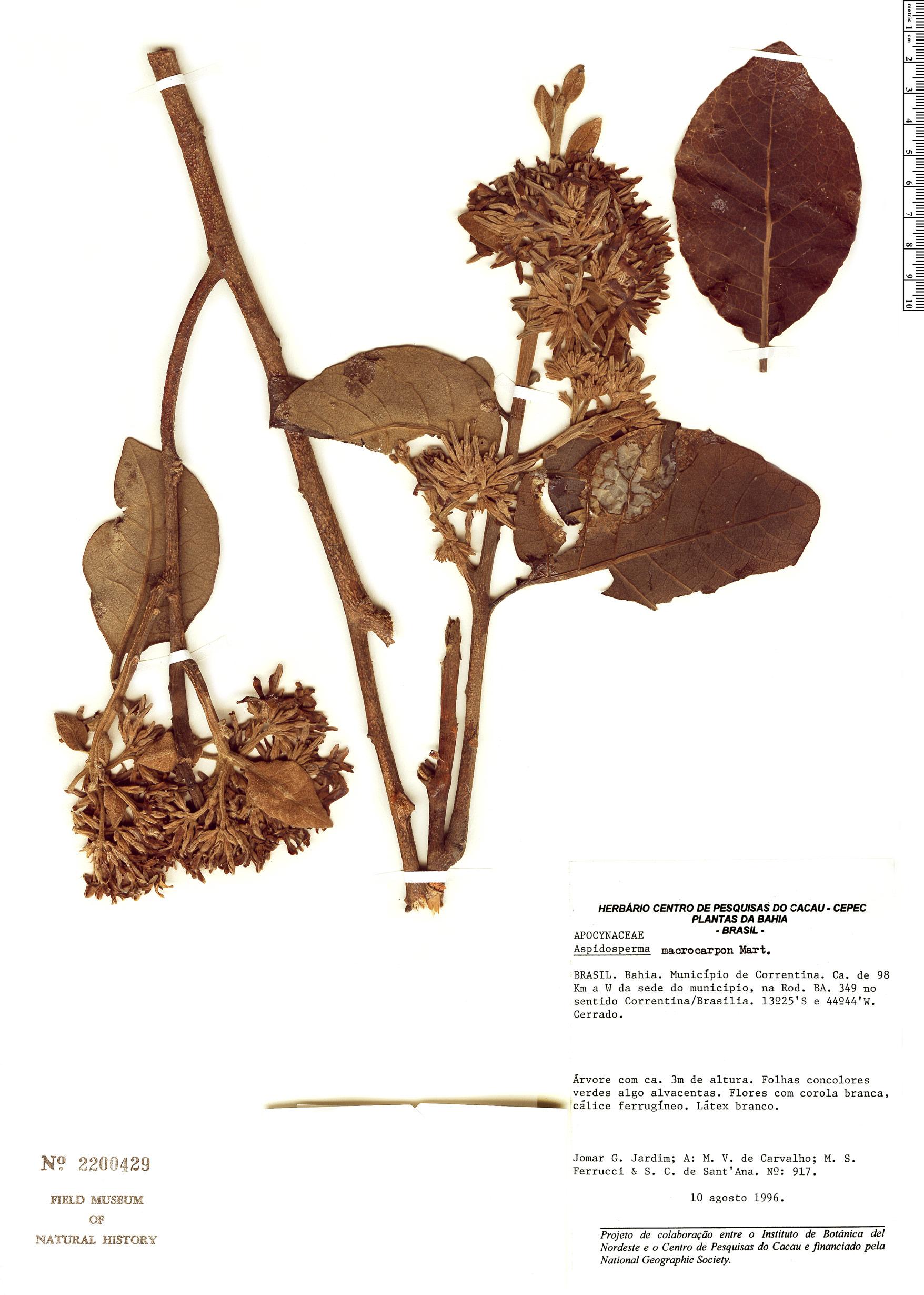 Specimen: Aspidosperma macrocarpon