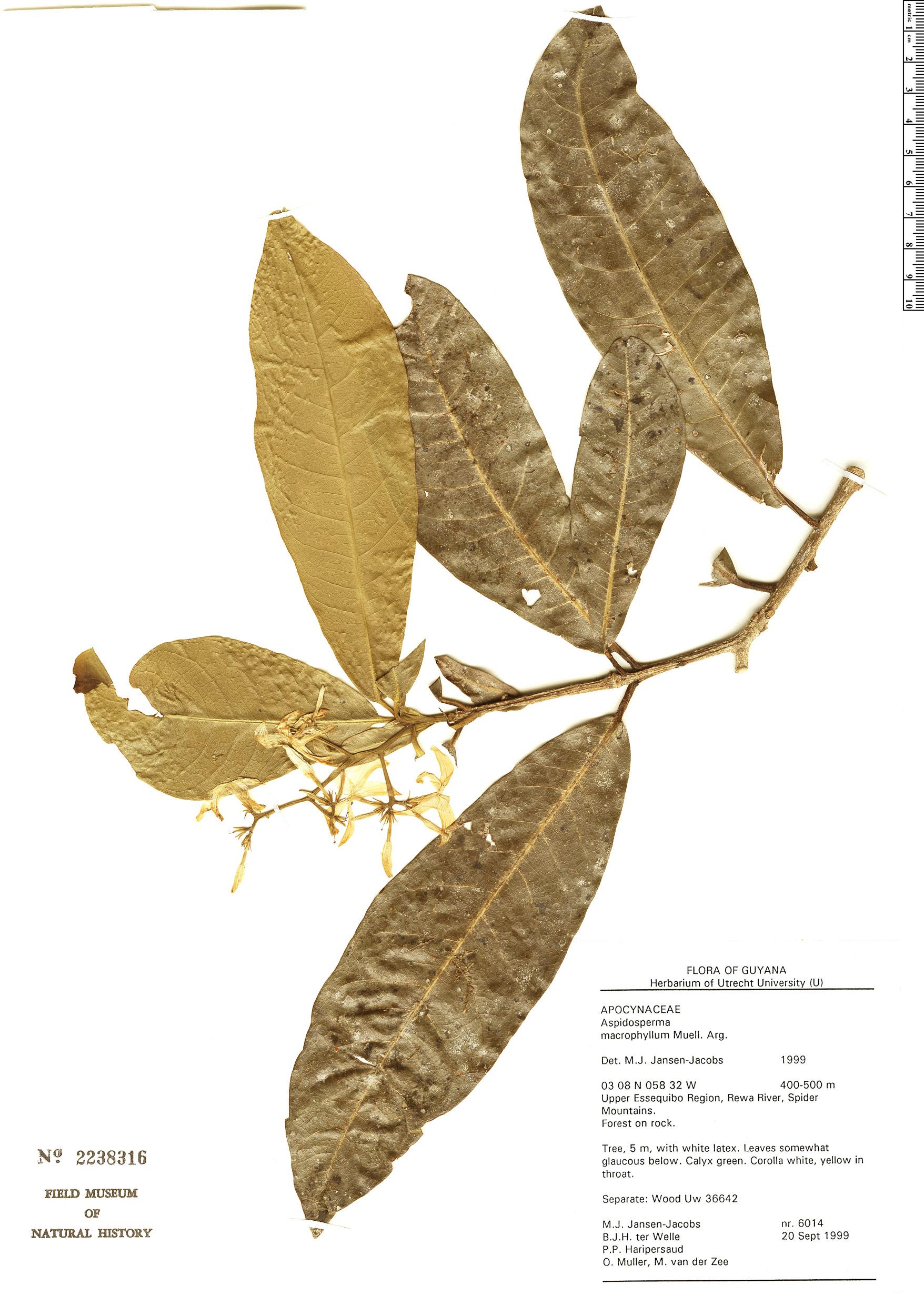Specimen: Aspidosperma macrophyllum