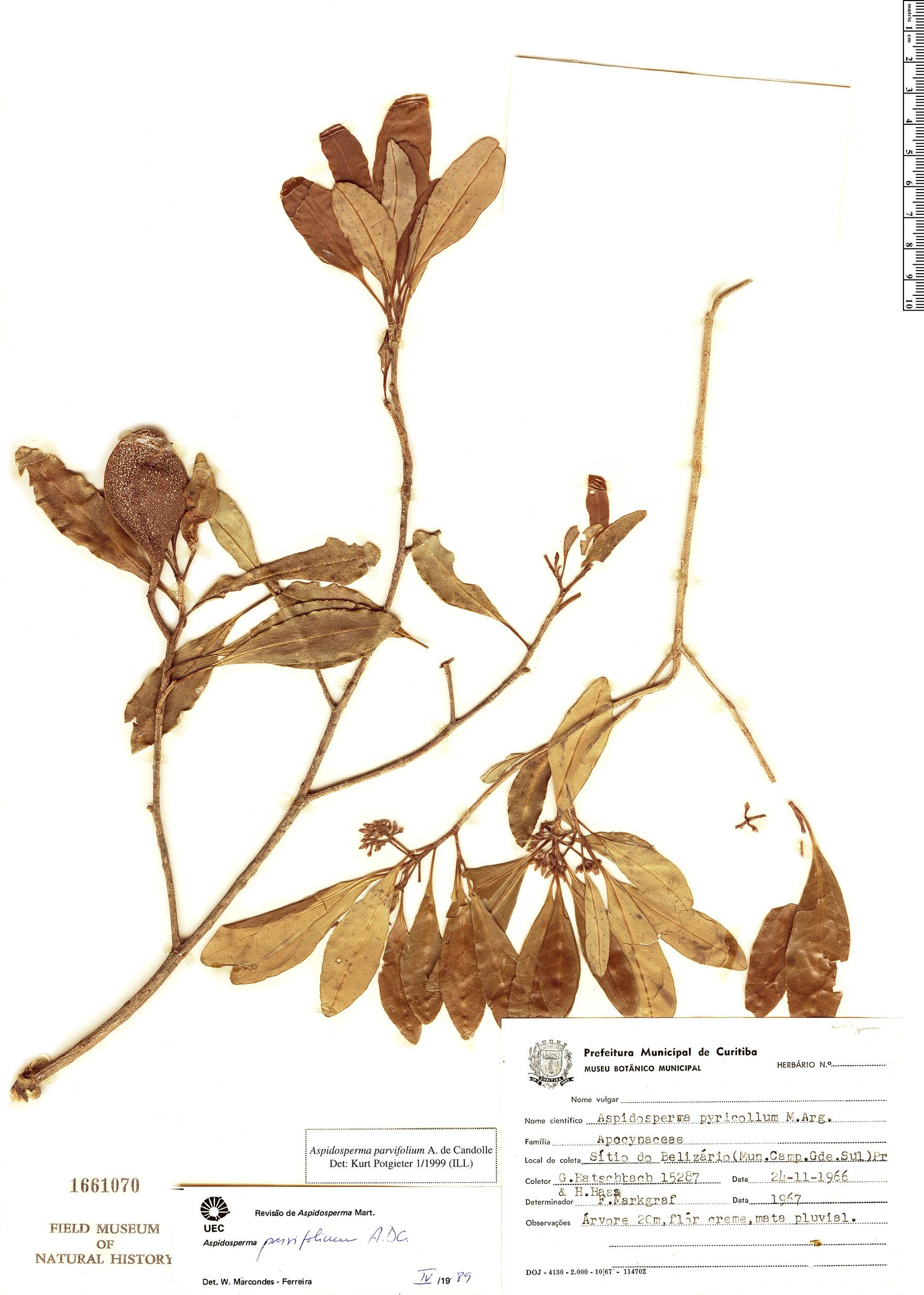 Espécime: Aspidosperma parvifolium