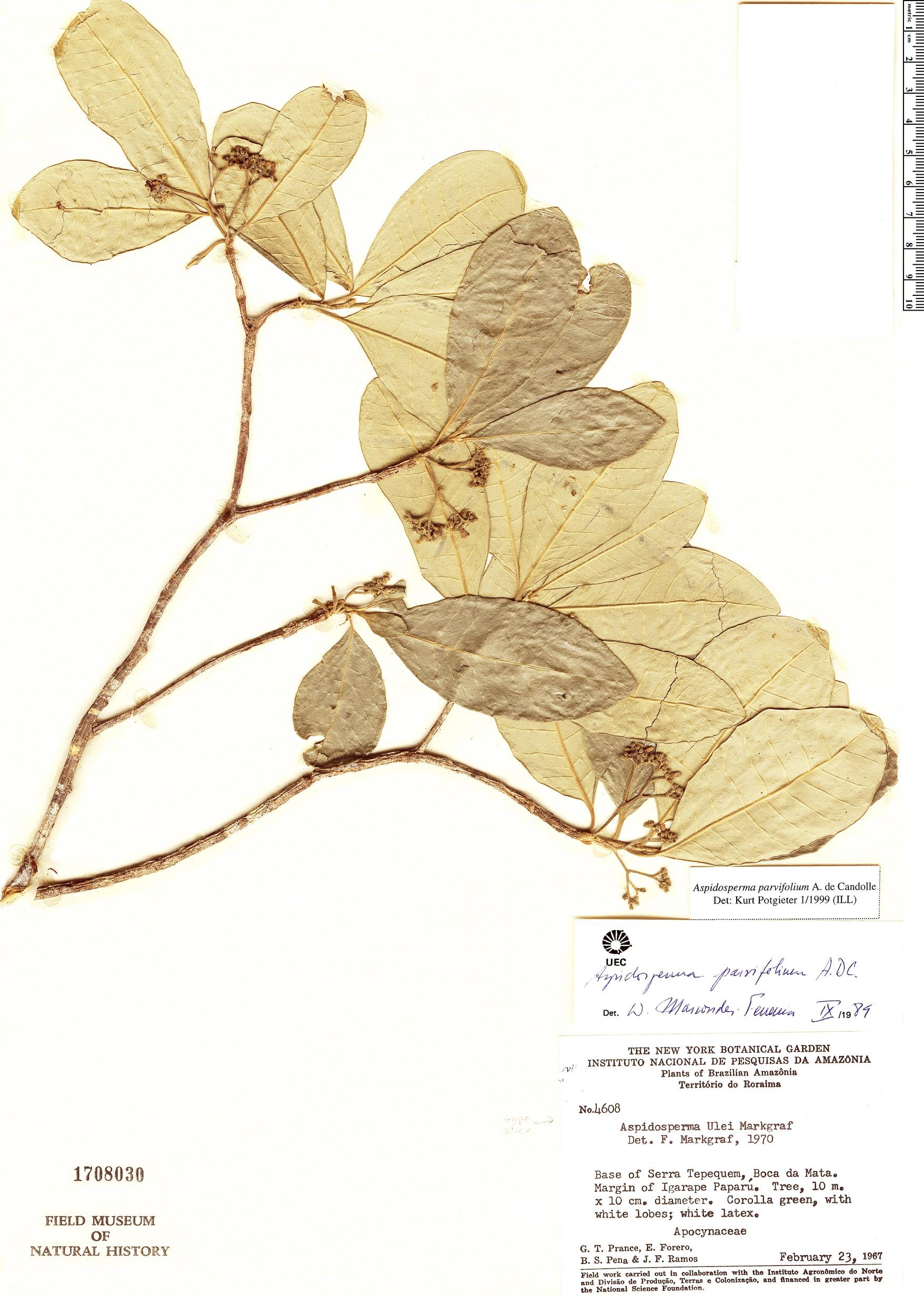 Espécimen: Aspidosperma parvifolium