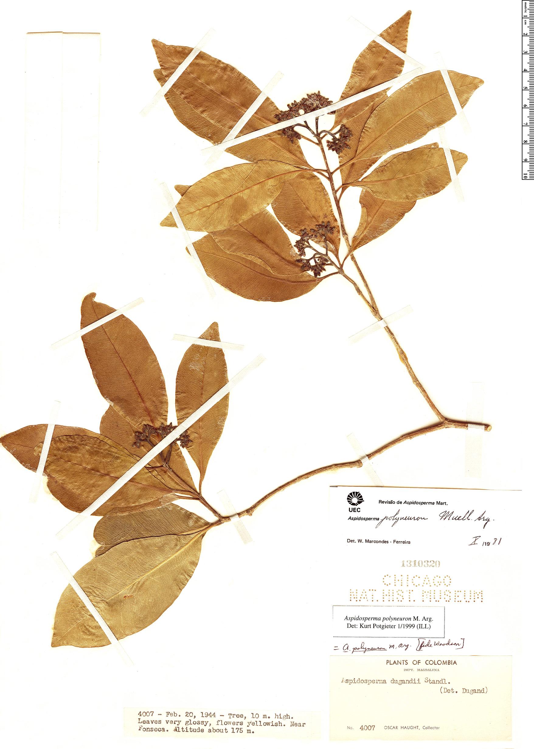 Specimen: Aspidosperma polyneuron