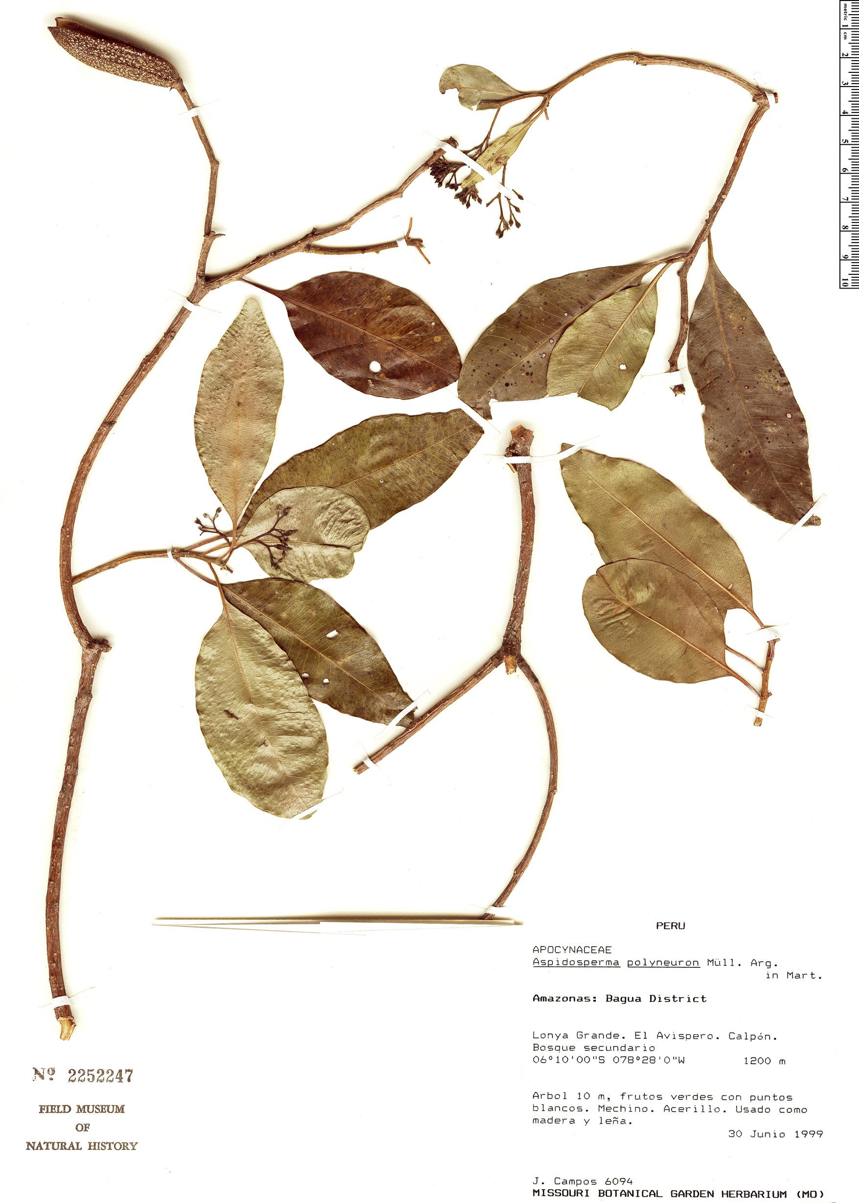 Espécimen: Aspidosperma polyneuron