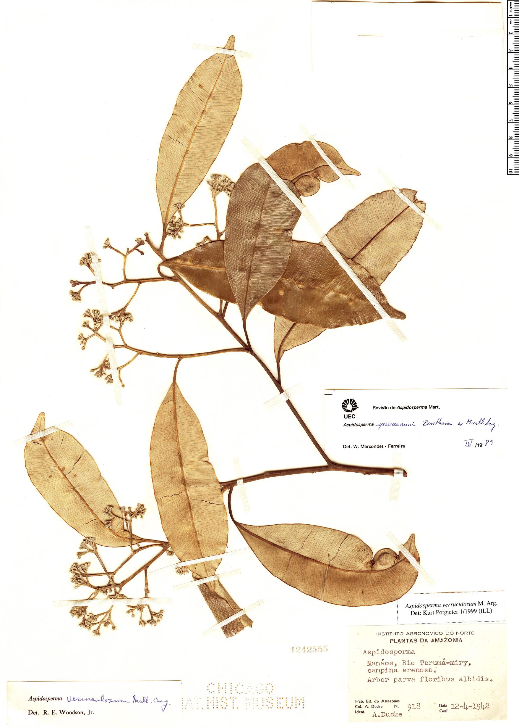 Specimen: Aspidosperma verruculosum
