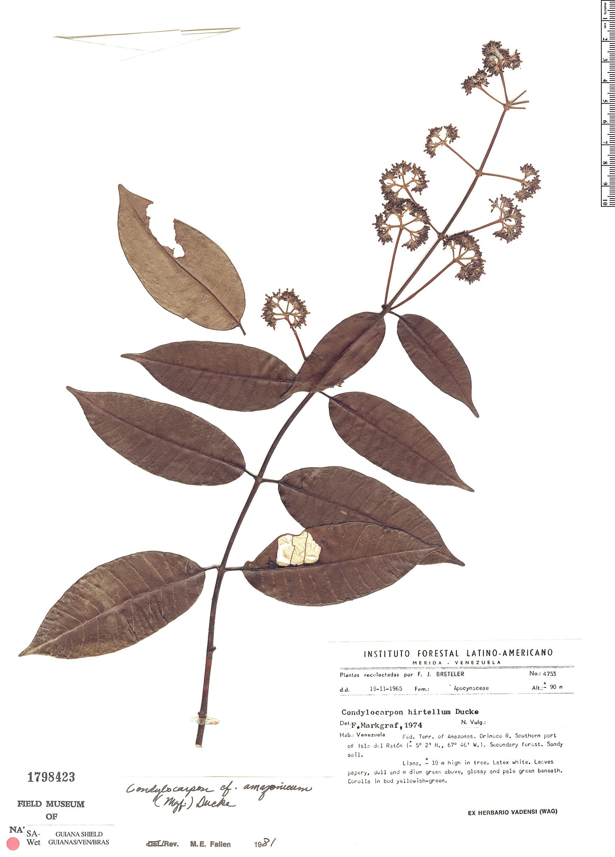 Specimen: Condylocarpon amazonicum
