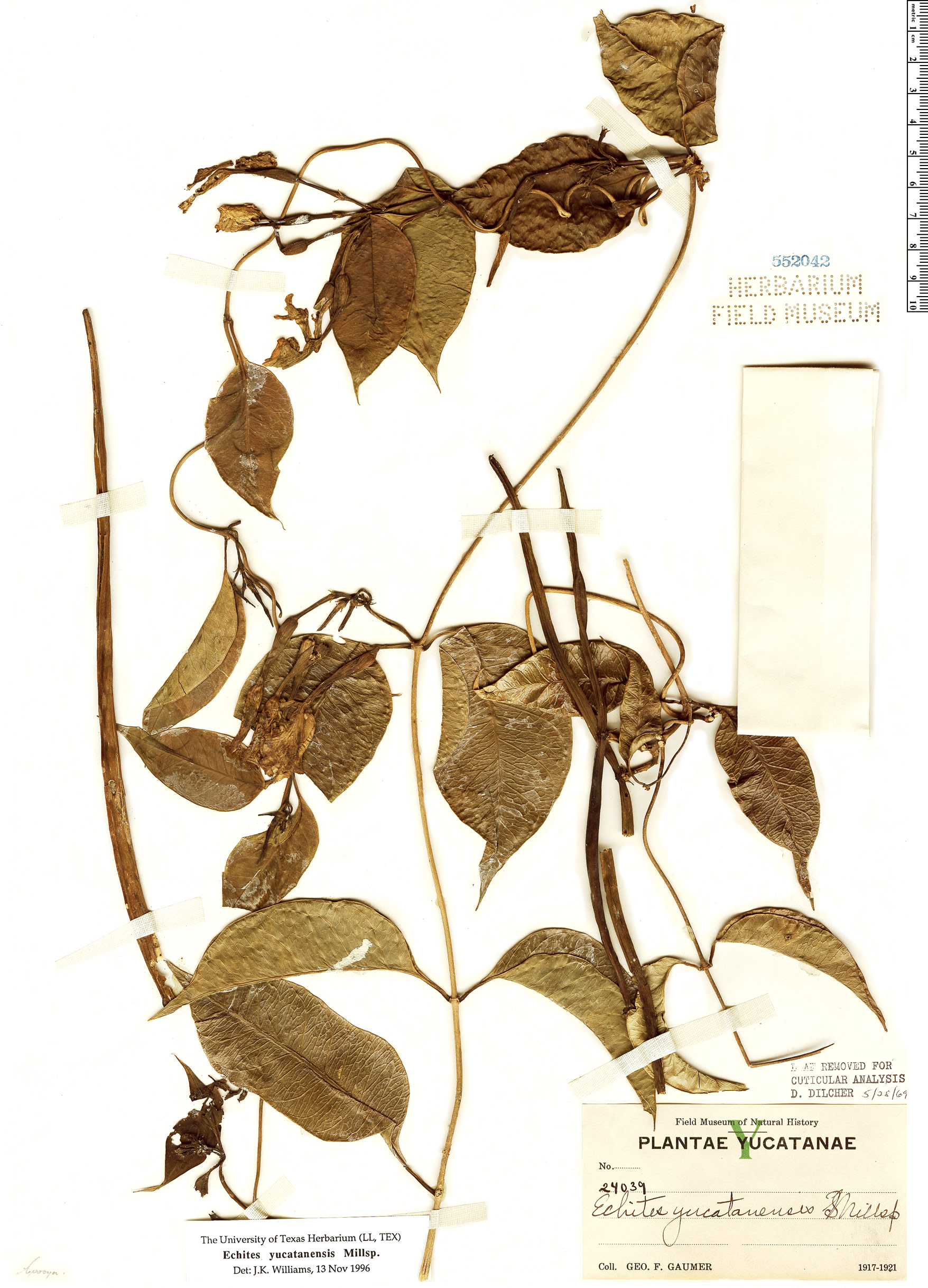 Specimen: Echites yucatanensis