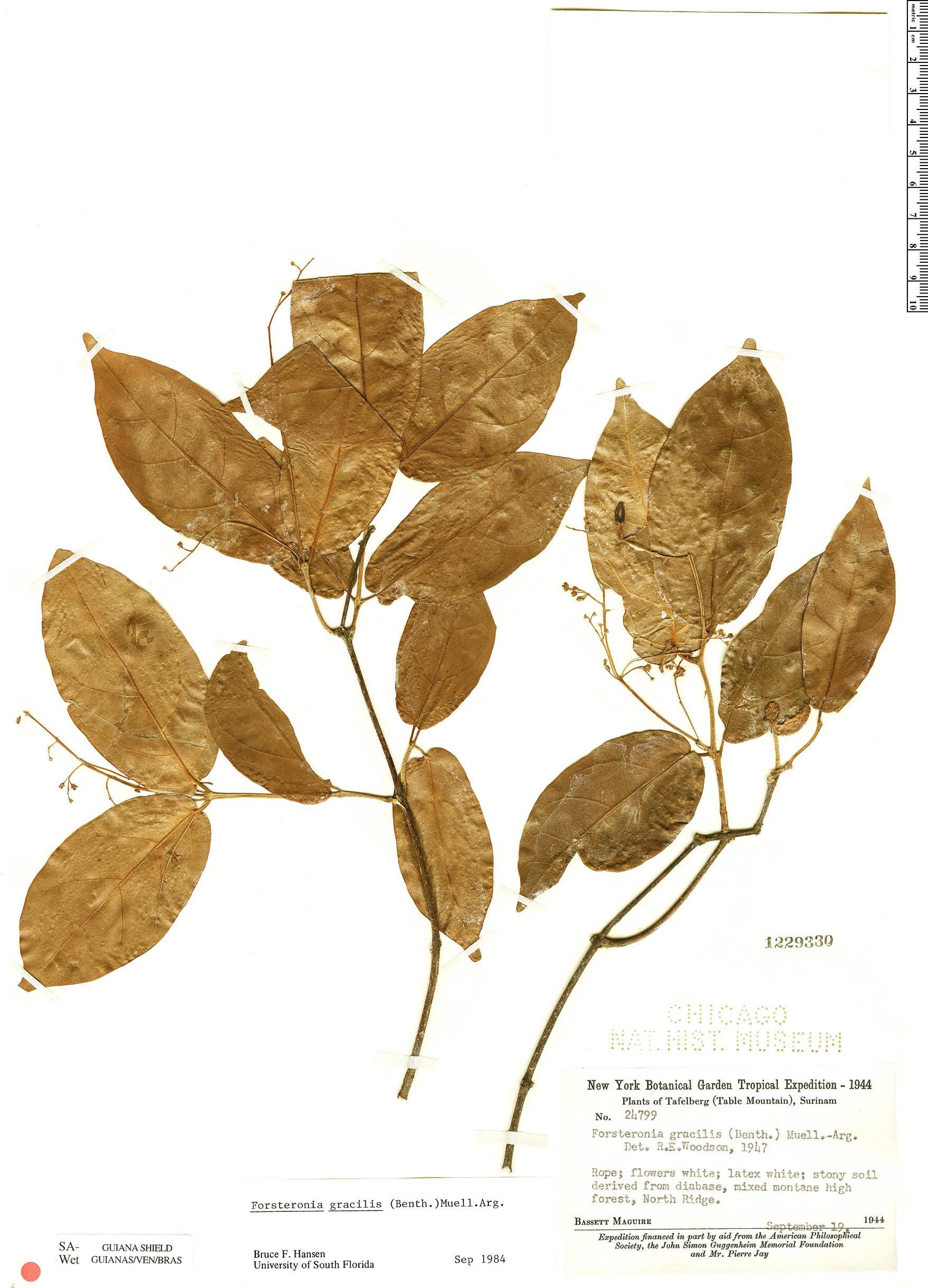 Specimen: Forsteronia gracilis