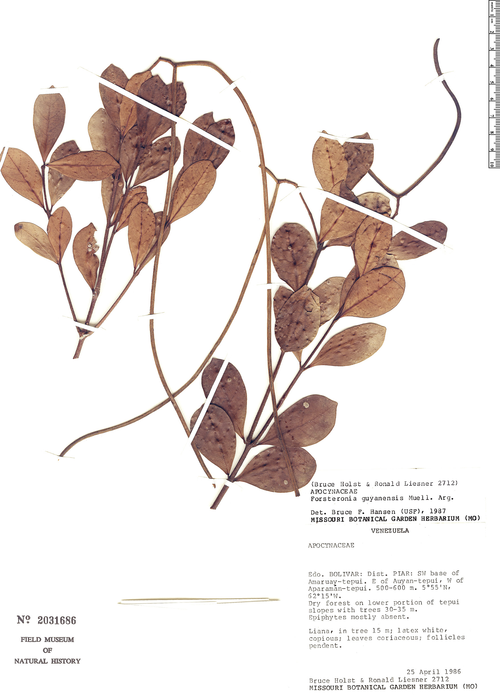 Specimen: Forsteronia guyanensis