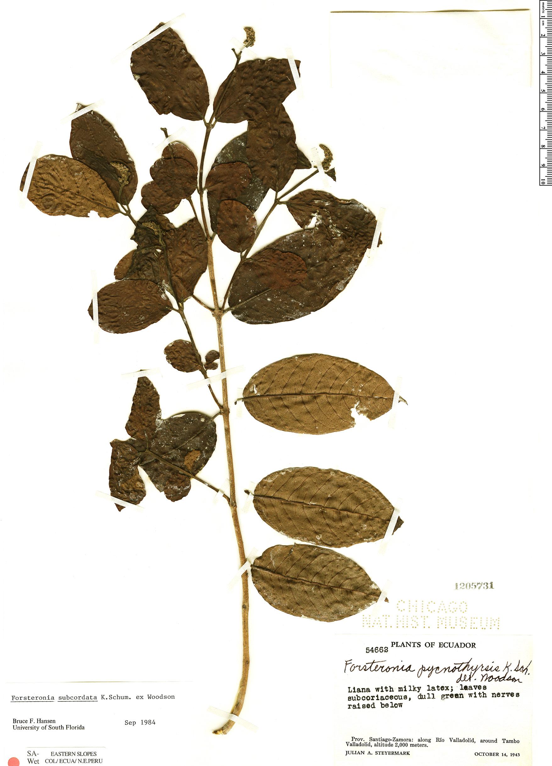 Specimen: Forsteronia subcordata