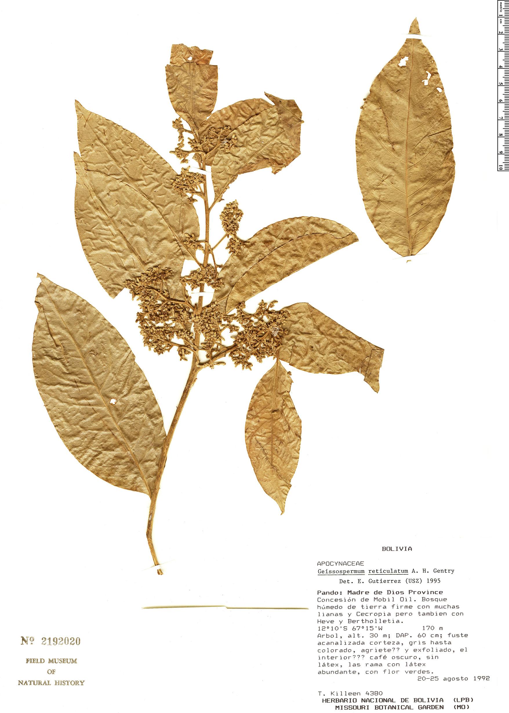 Specimen: Geissospermum reticulatum
