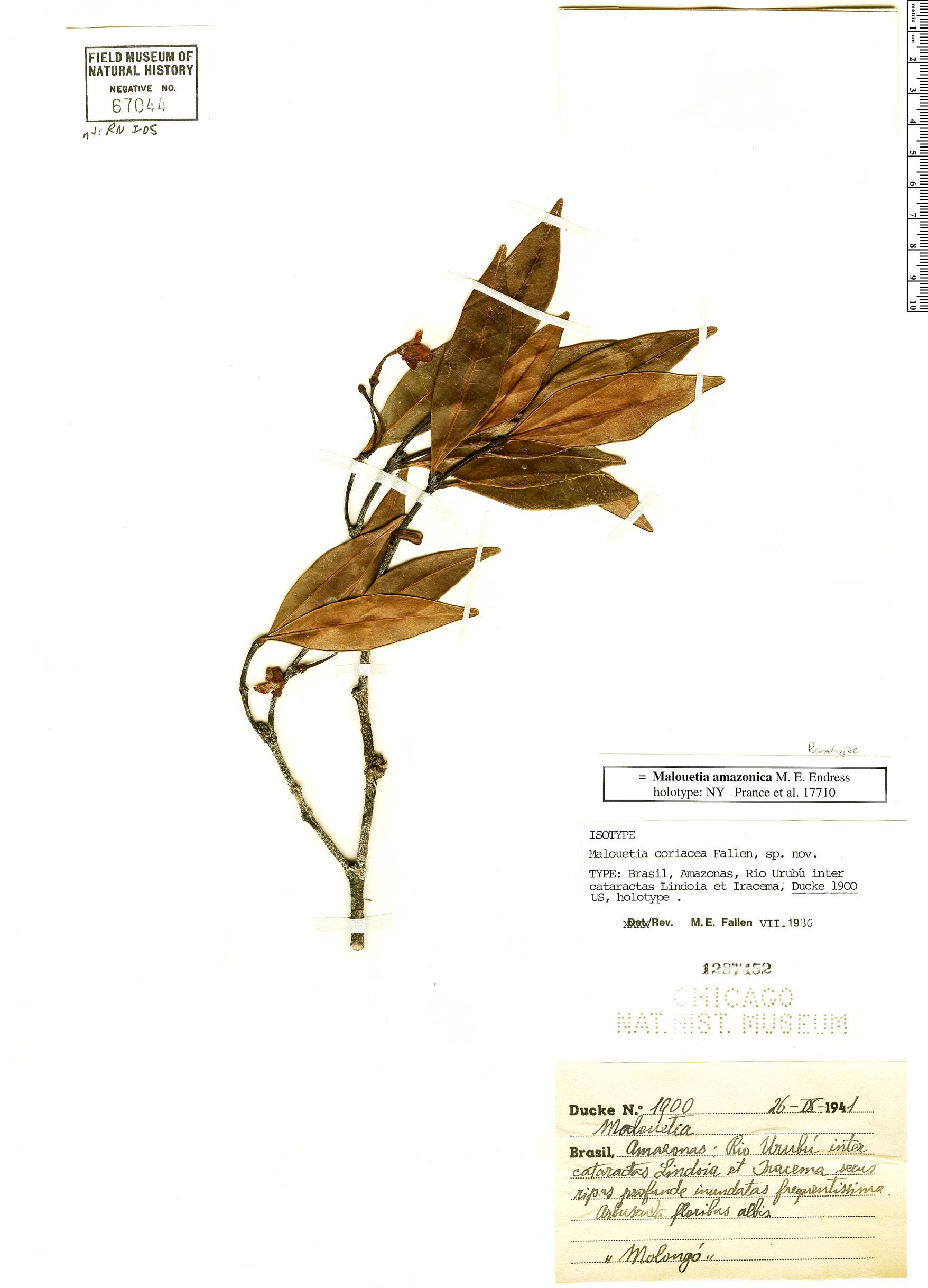 Specimen: Malouetia amazonica