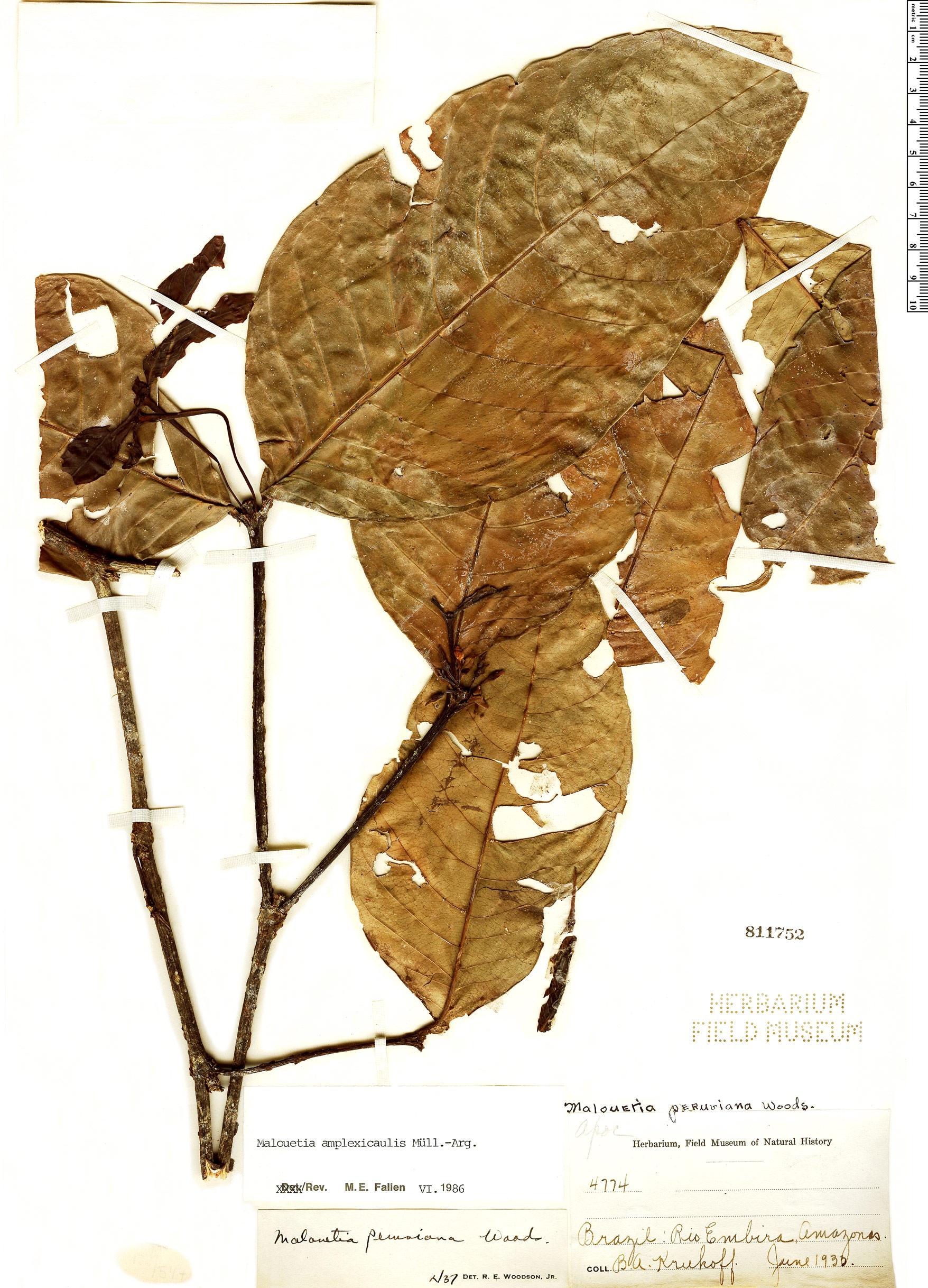 Espécimen: Malouetia amplexicaulis