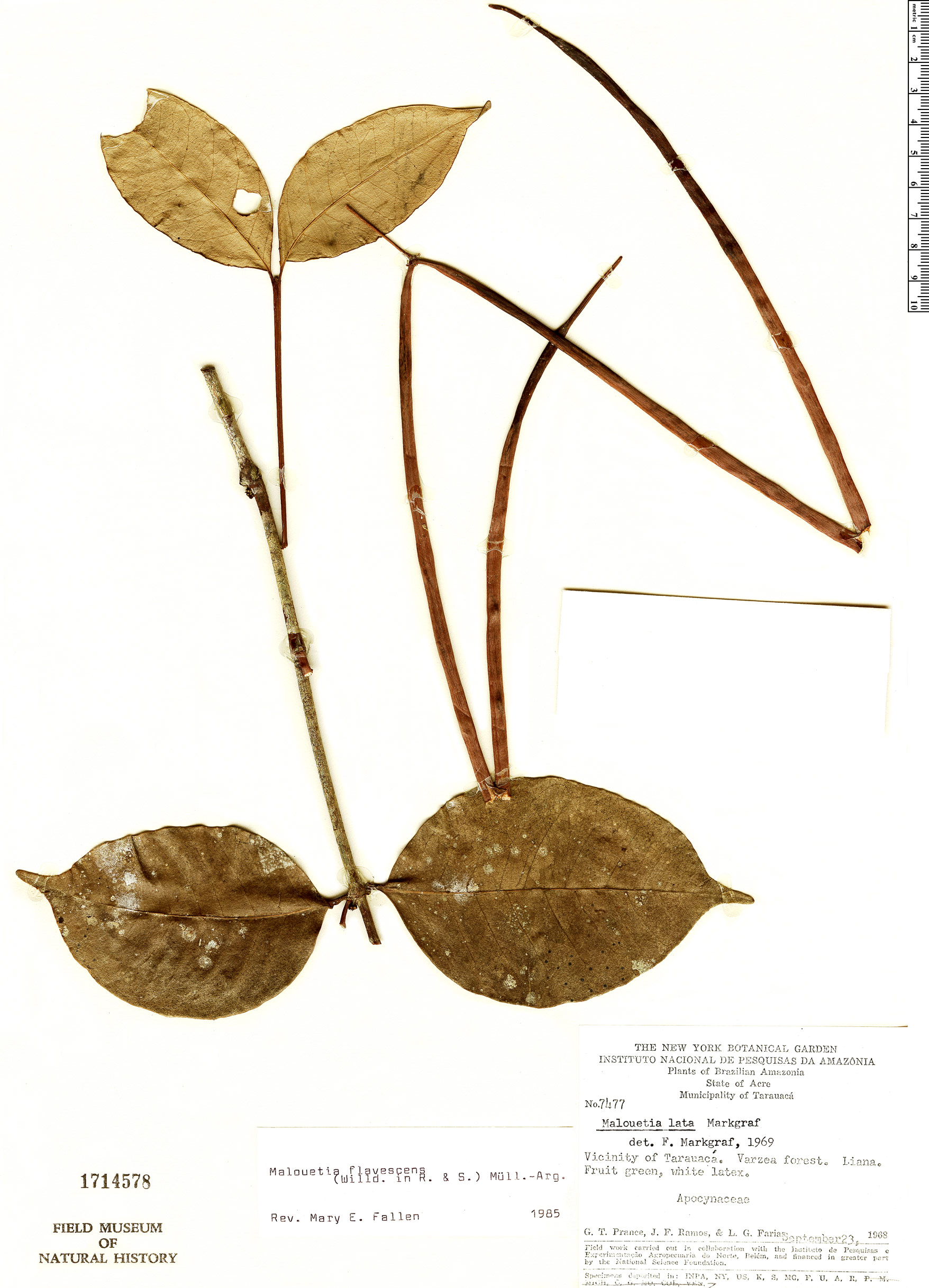 Espécimen: Malouetia flavescens