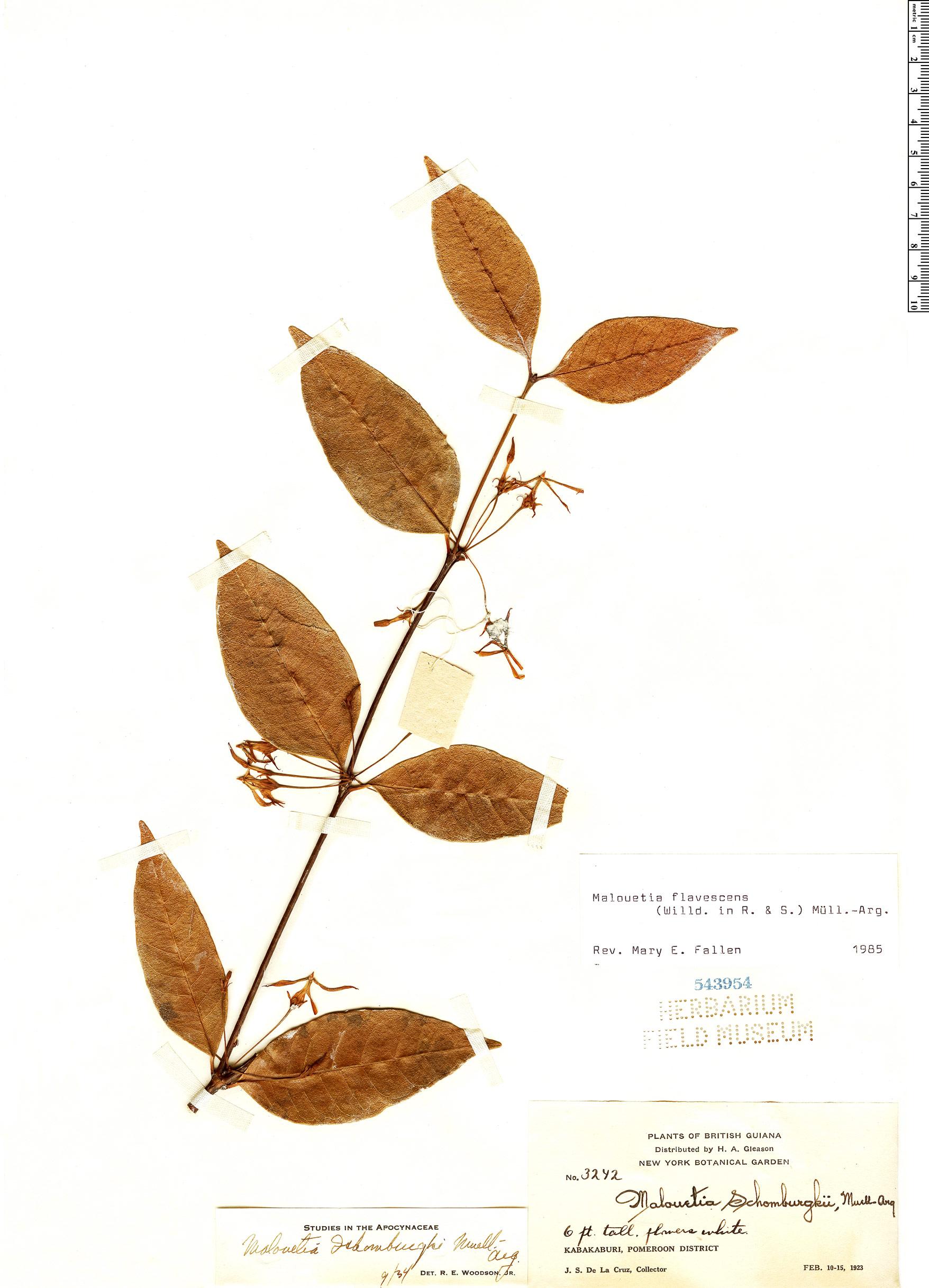 Specimen: Malouetia flavescens