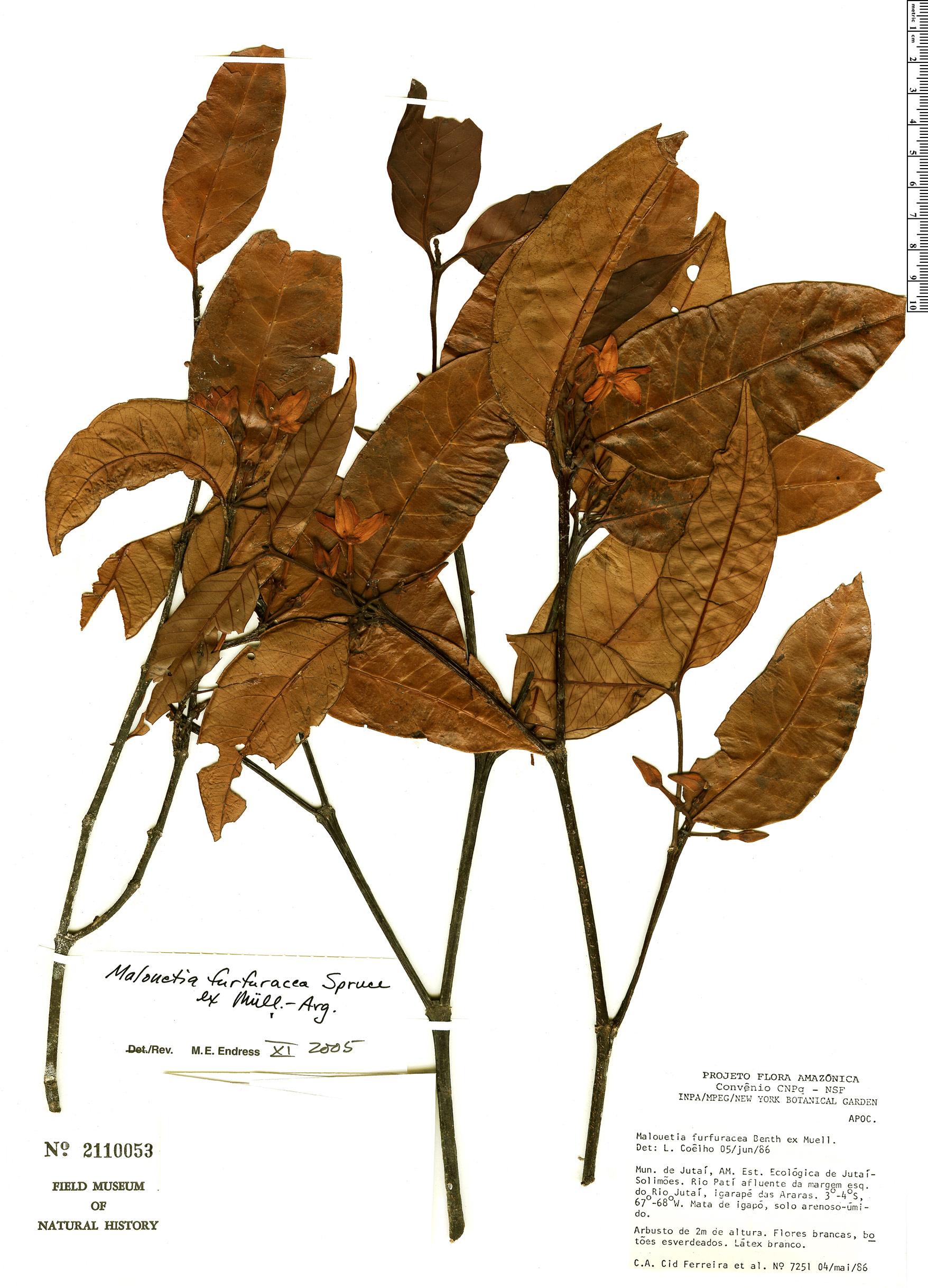Specimen: Malouetia furfuracea