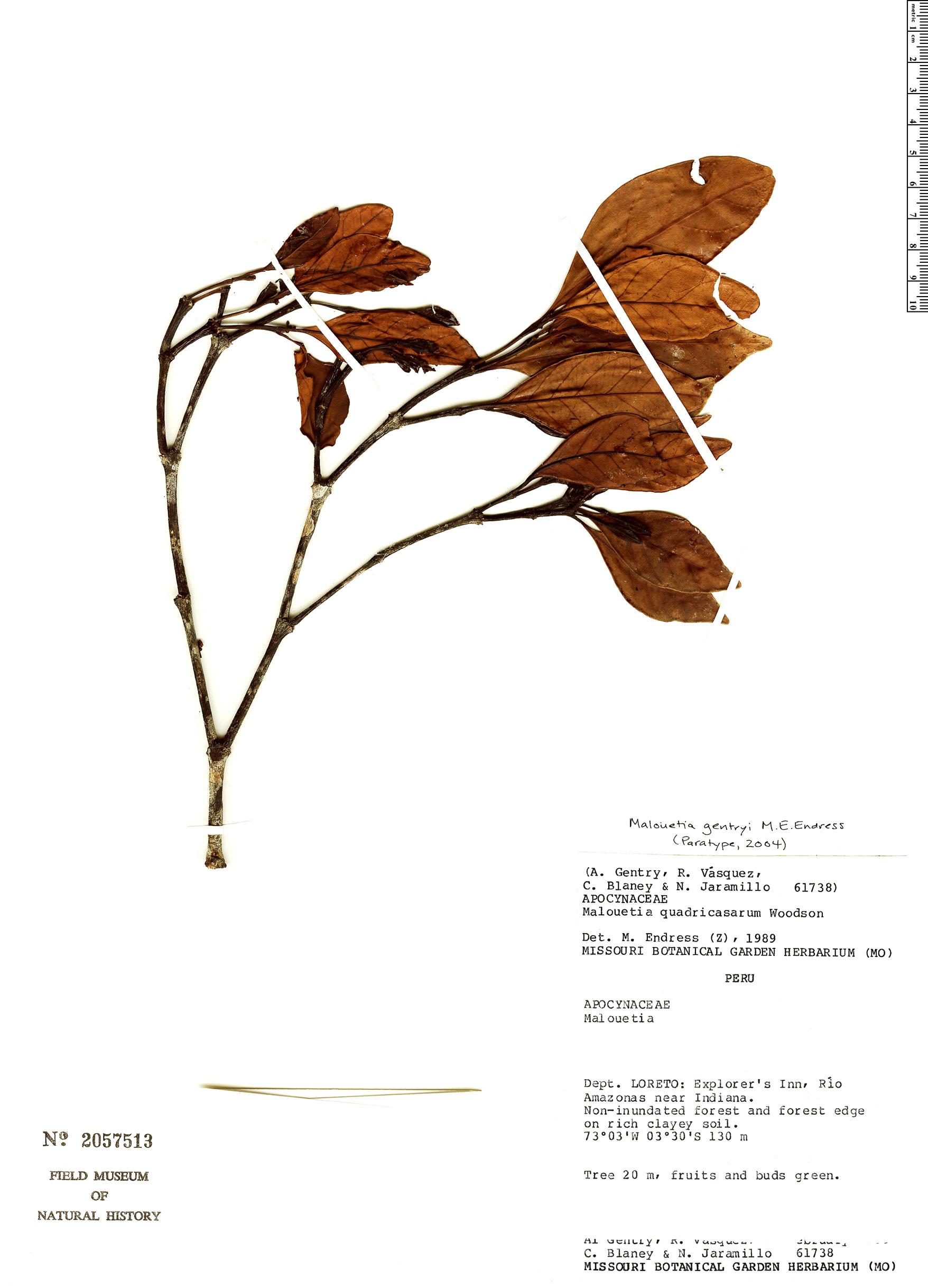 Espécime: Malouetia gentryi
