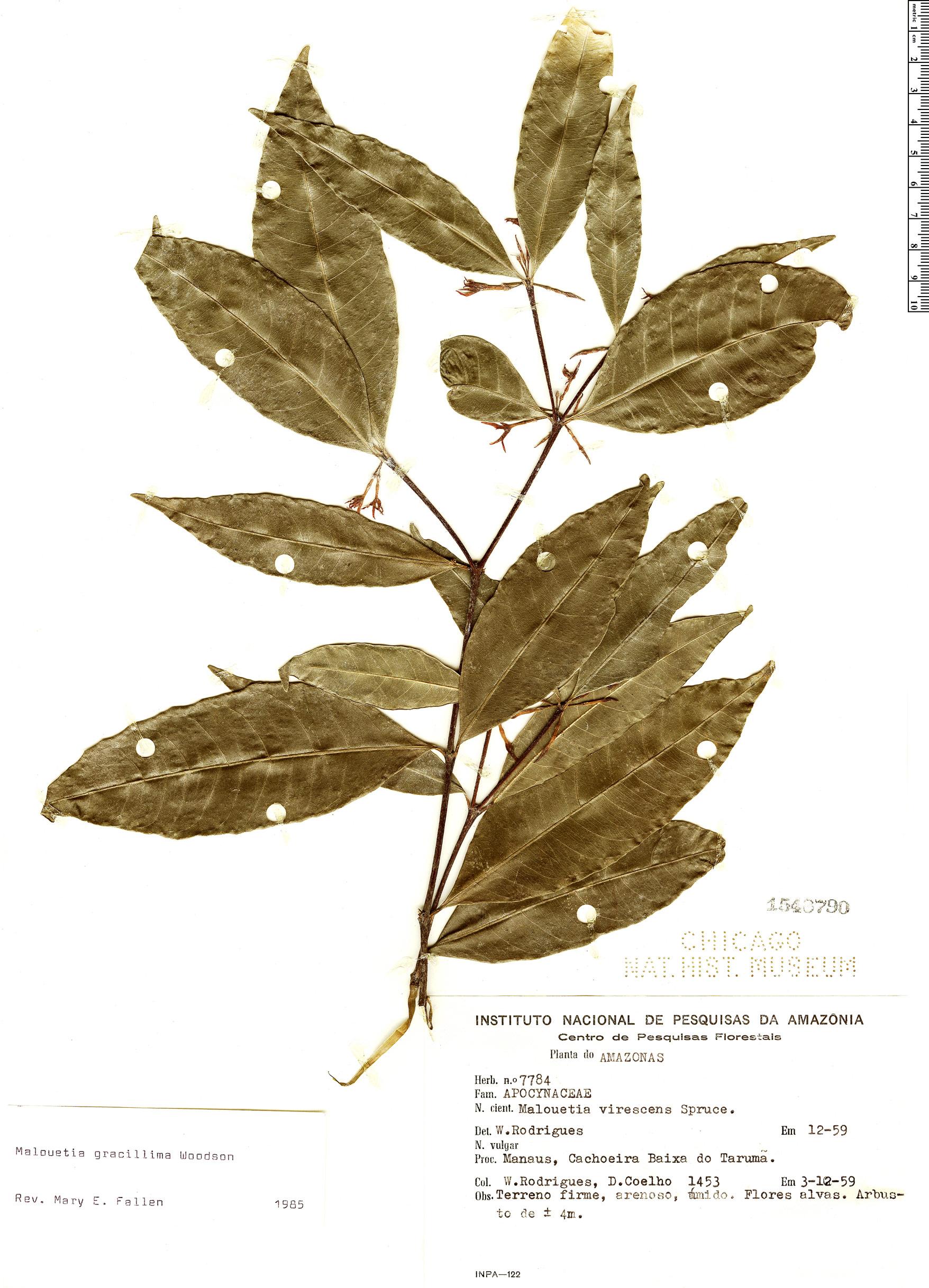 Specimen: Malouetia gracillima