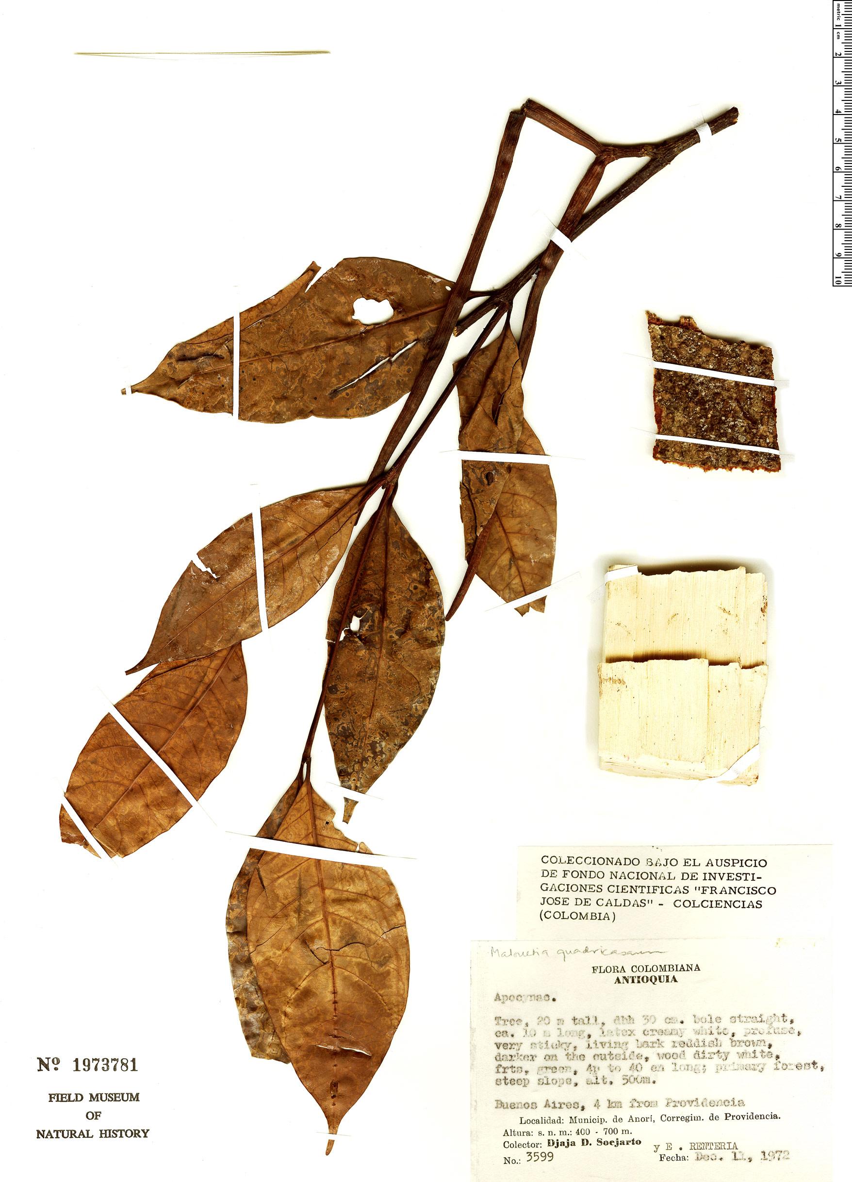 Specimen: Malouetia quadricasarum
