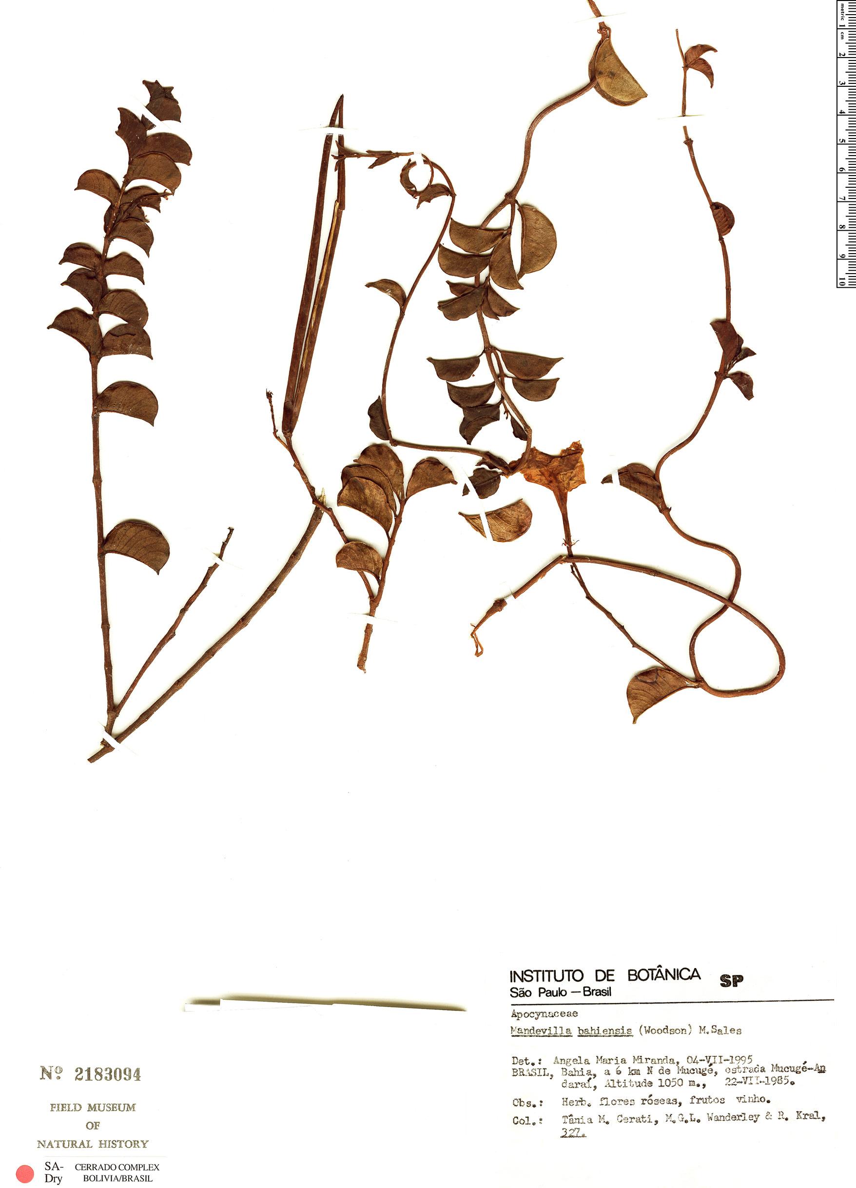 Specimen: Mandevilla bahiensis