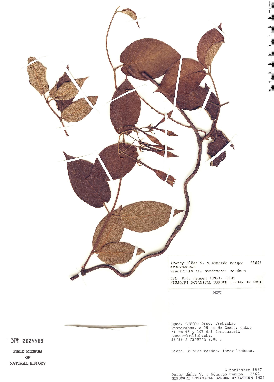 Espécime: Mandevilla sandemanii
