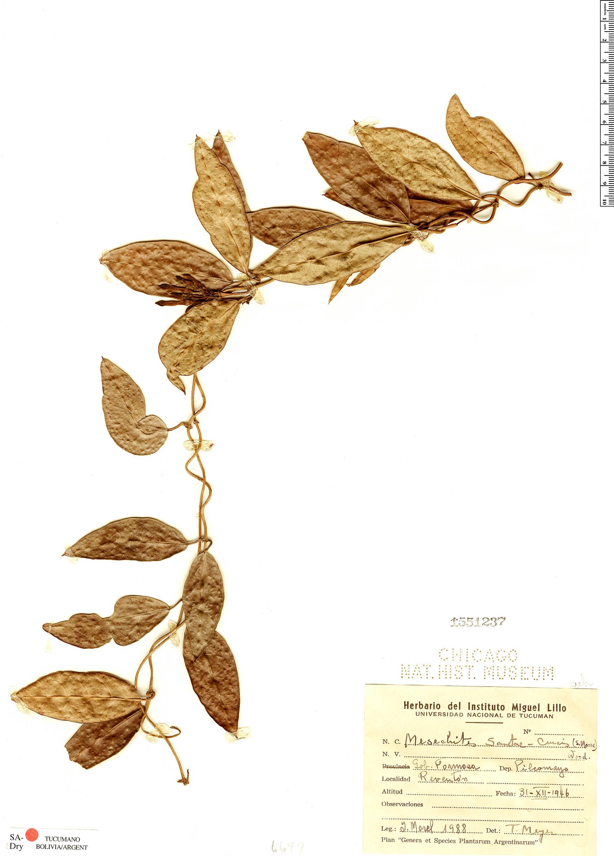 Specimen: Mesechites sanctae-crucis