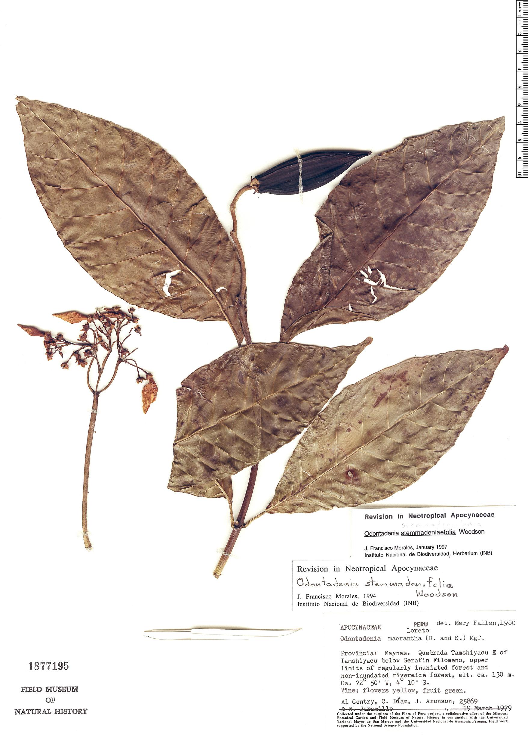 Specimen: Odontadenia stemmadeniifolia