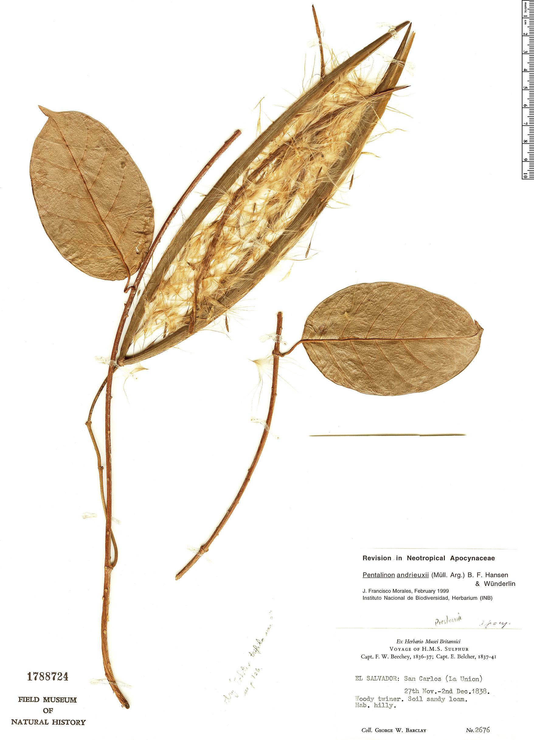 Specimen: Pentalinon andrieuxii