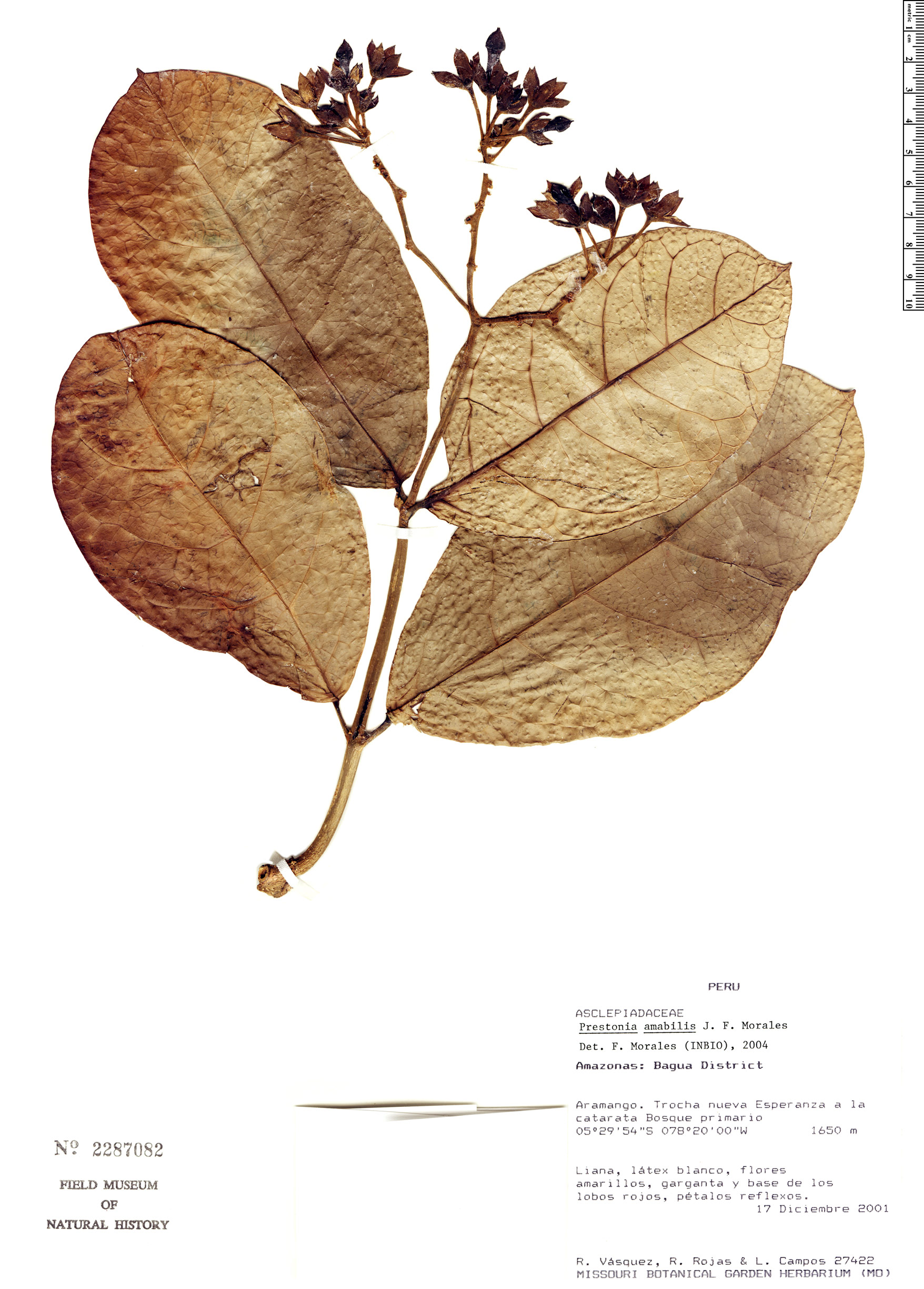 Specimen: Prestonia amabilis