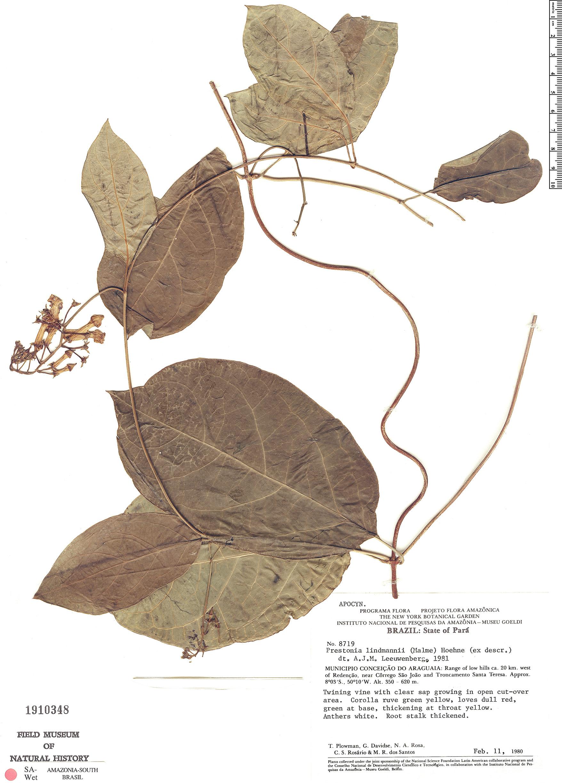 Specimen: Prestonia lindmanii
