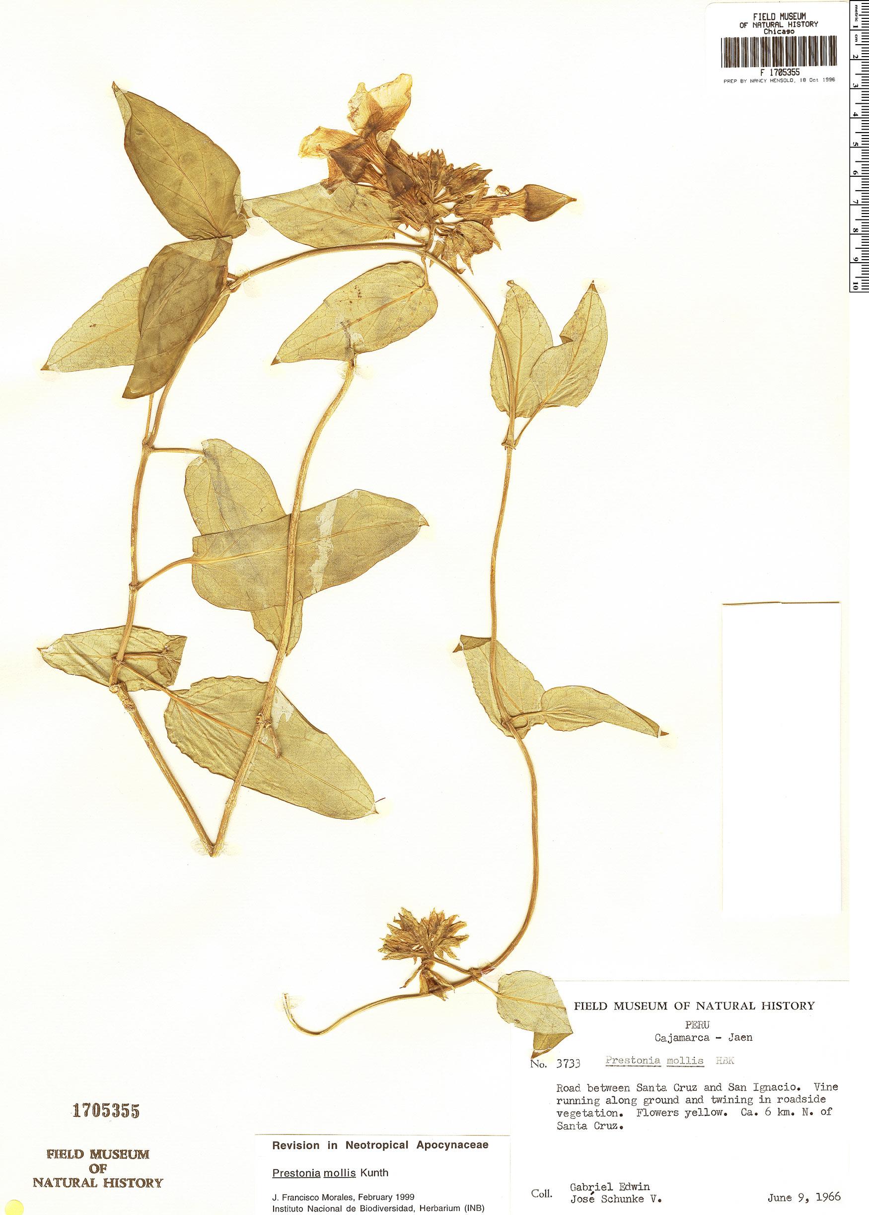 Specimen: Prestonia mollis