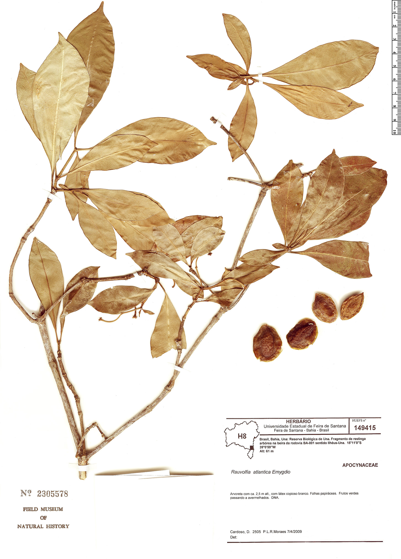 Espécimen: Rauvolfia atlantica