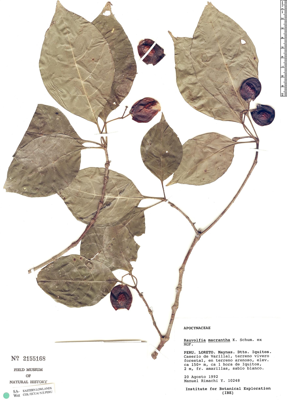 Specimen: Rauvolfia macrantha