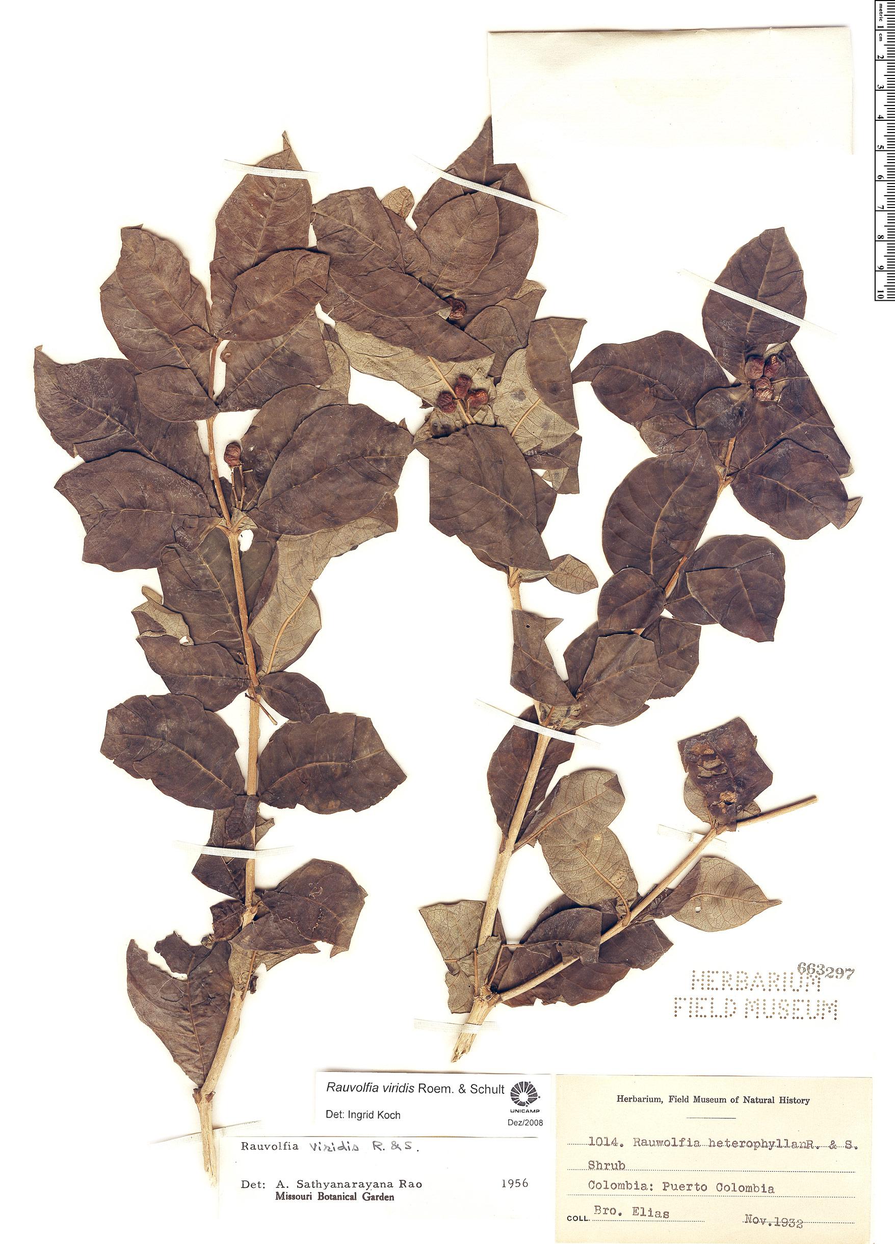 Specimen: Rauvolfia viridis