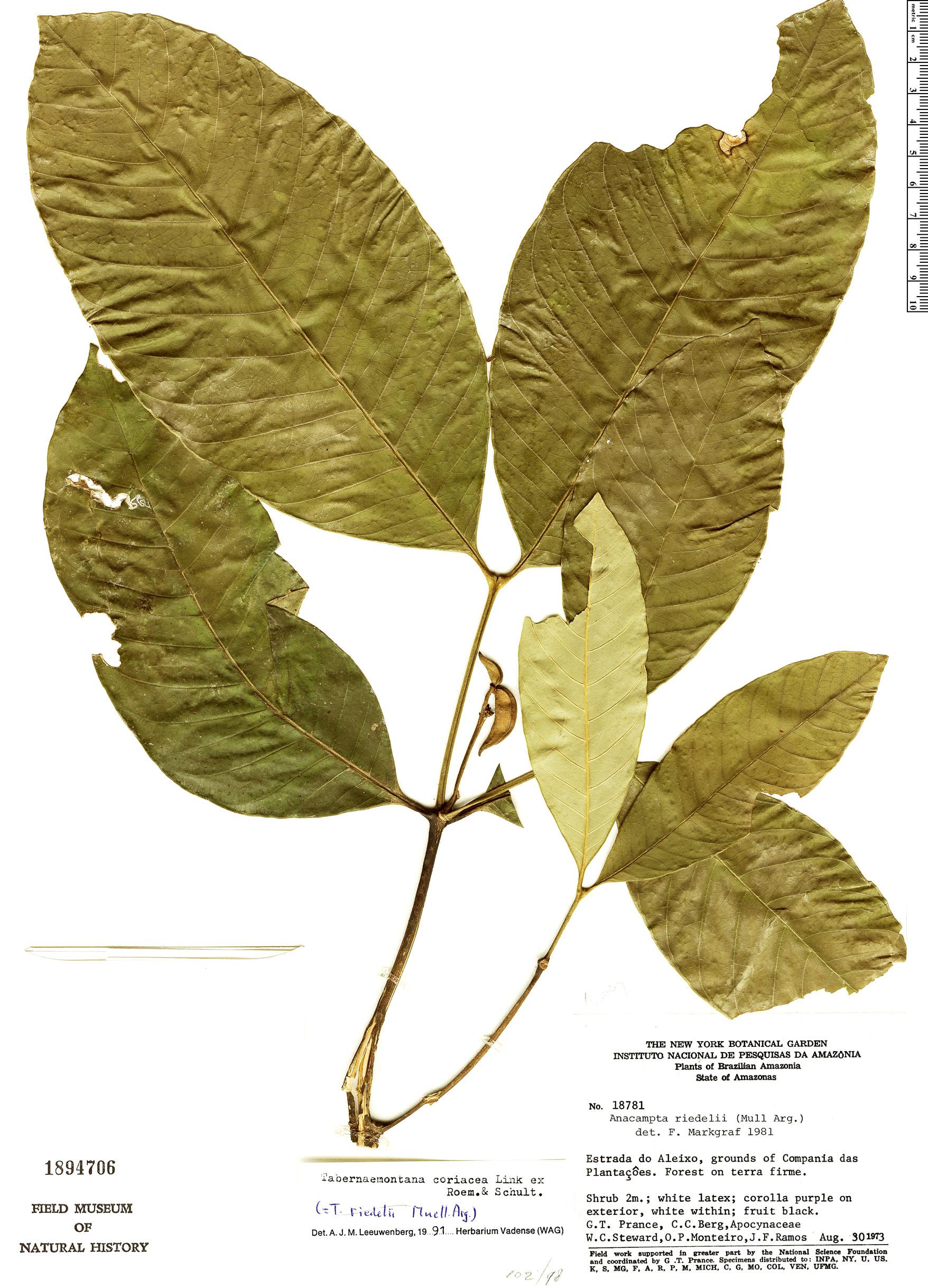 Specimen: Tabernaemontana coriacea
