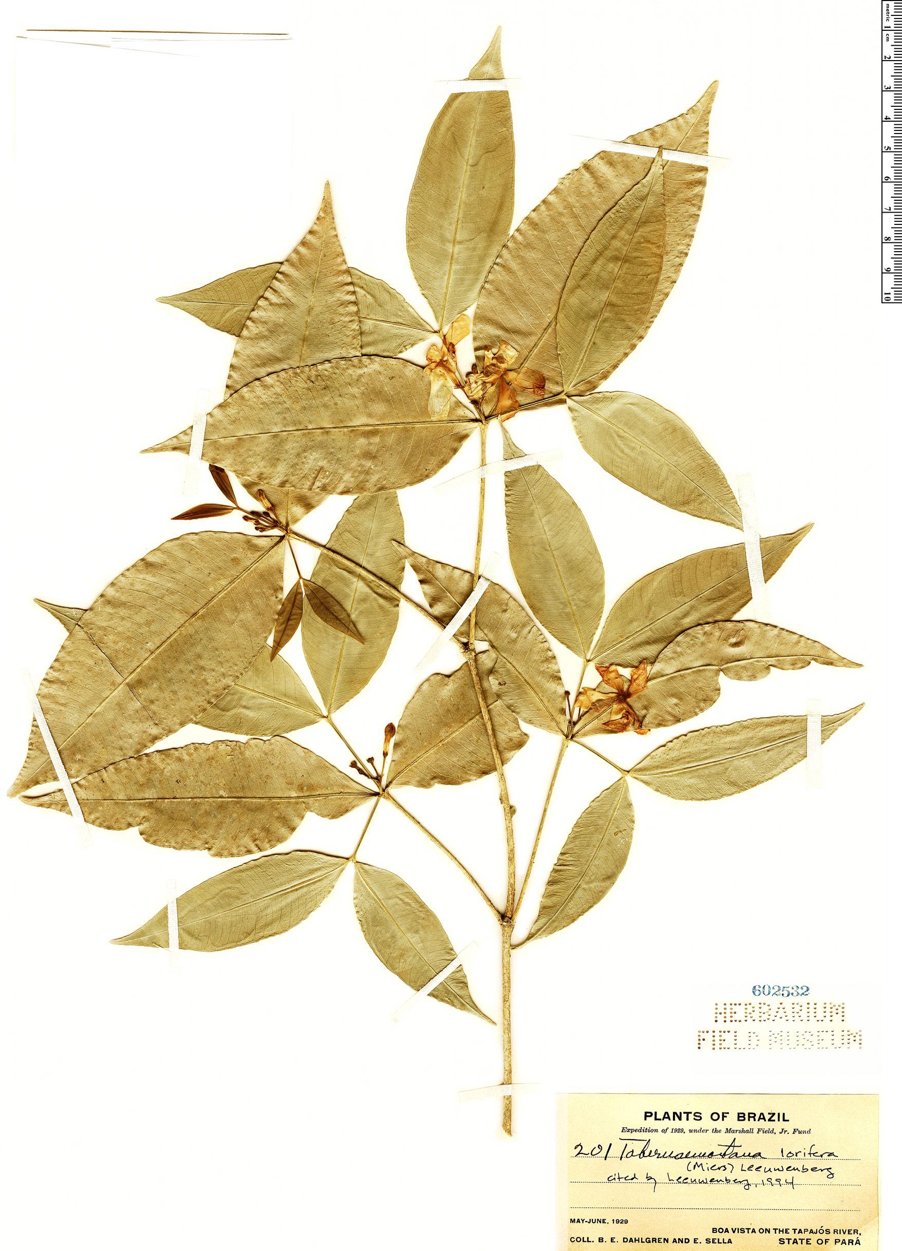 Specimen: Tabernaemontana lorifera