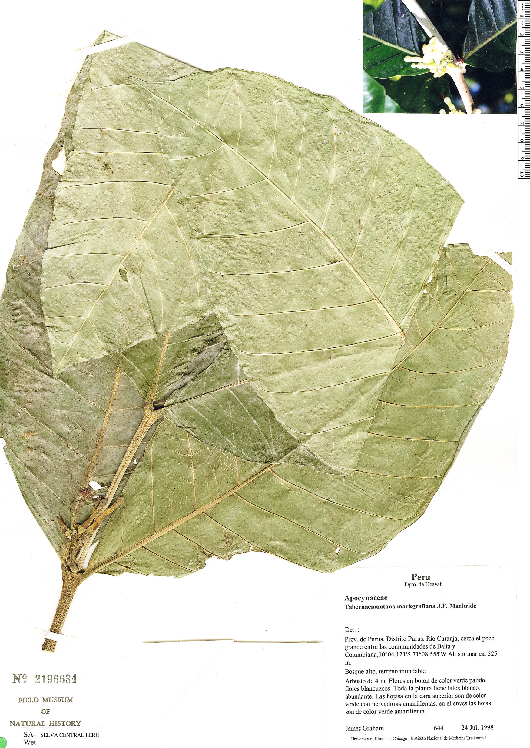 Specimen: Tabernaemontana markgrafiana