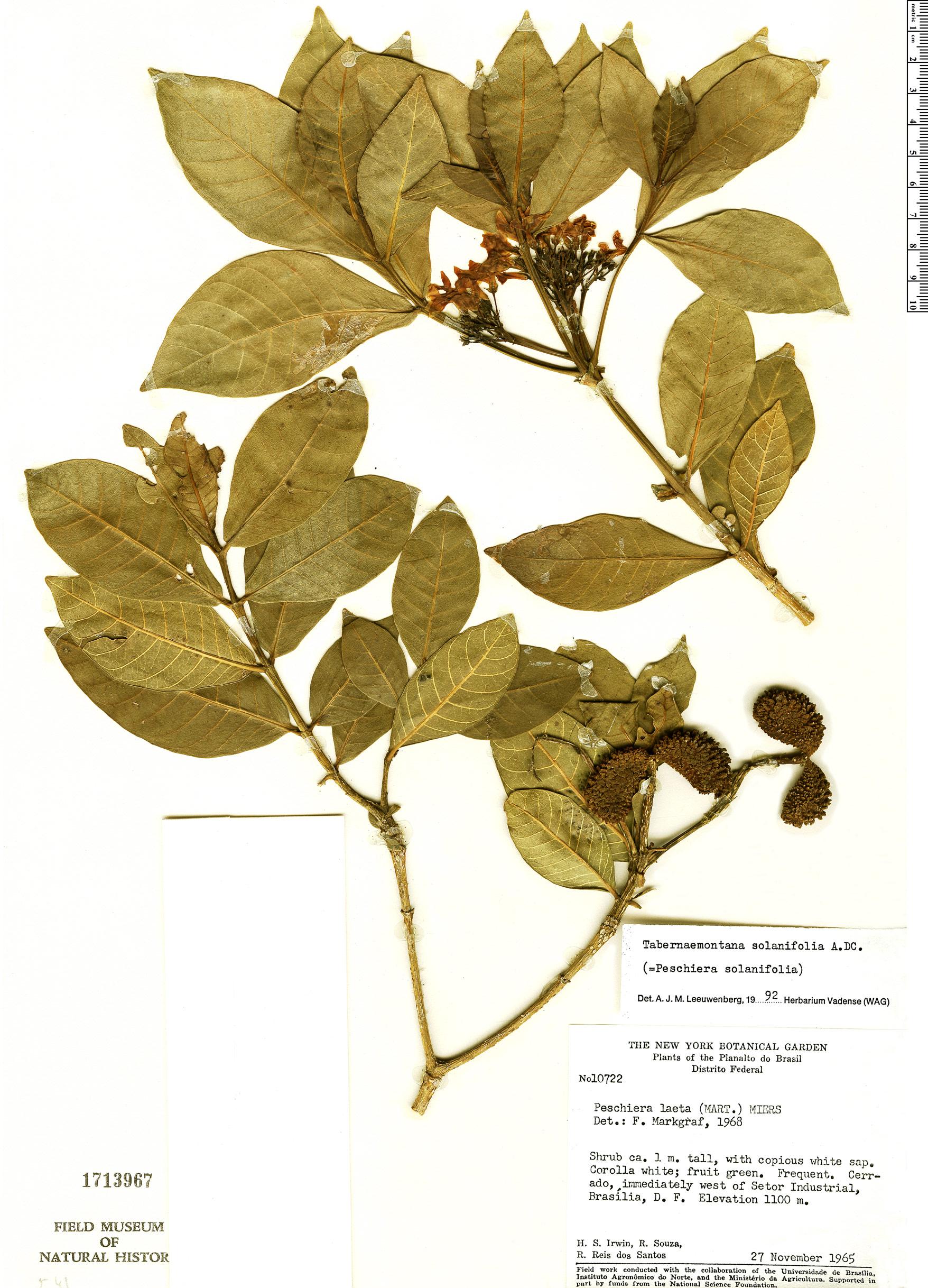 Specimen: Tabernaemontana solanifolia
