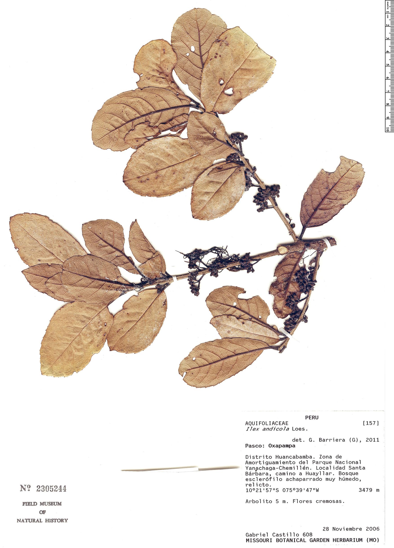 Specimen: Ilex andicola