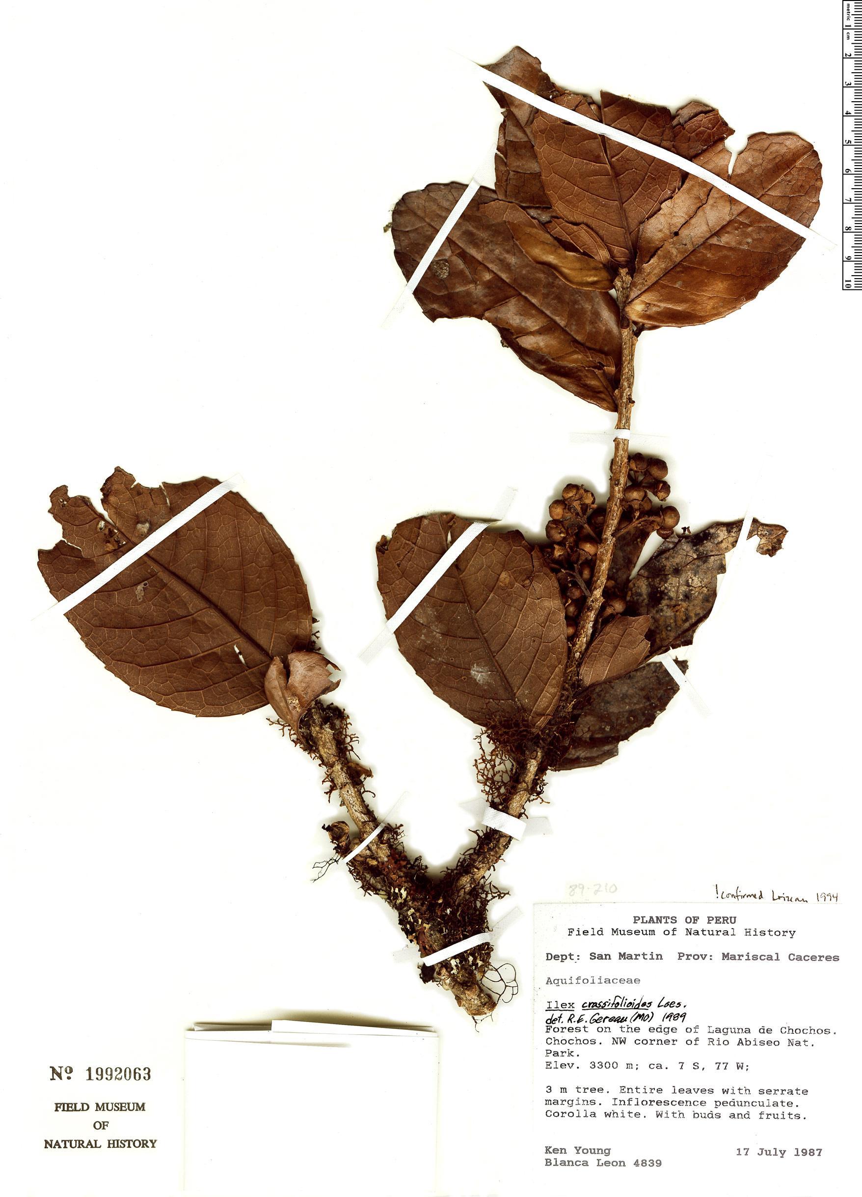 Specimen: Ilex crassifolioides