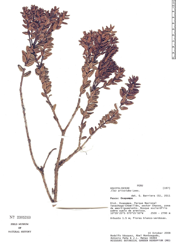 Specimen: Ilex ericoides
