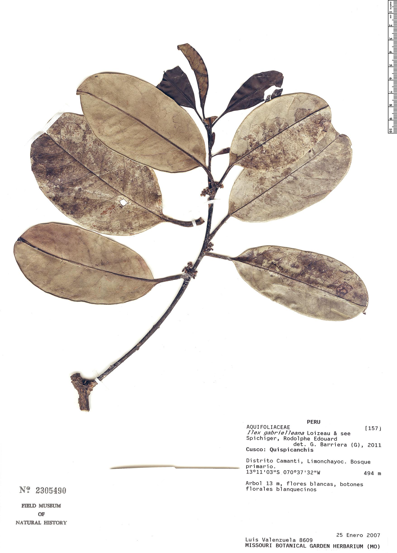 Specimen: Ilex gabrielleana