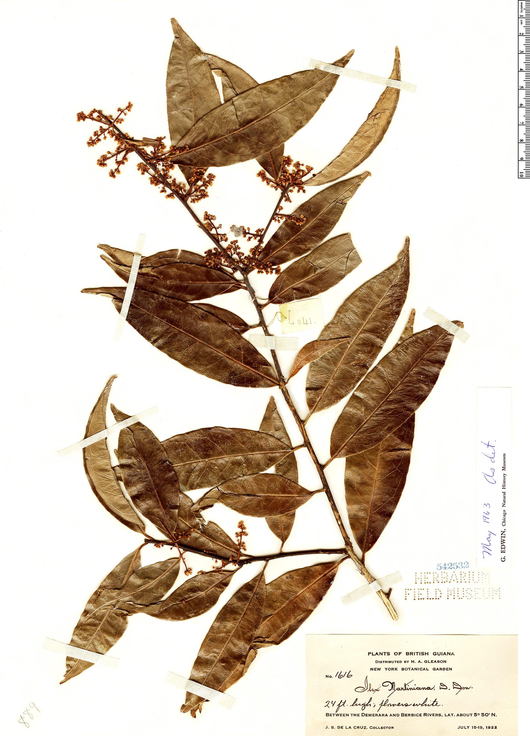 Specimen: Ilex martiniana