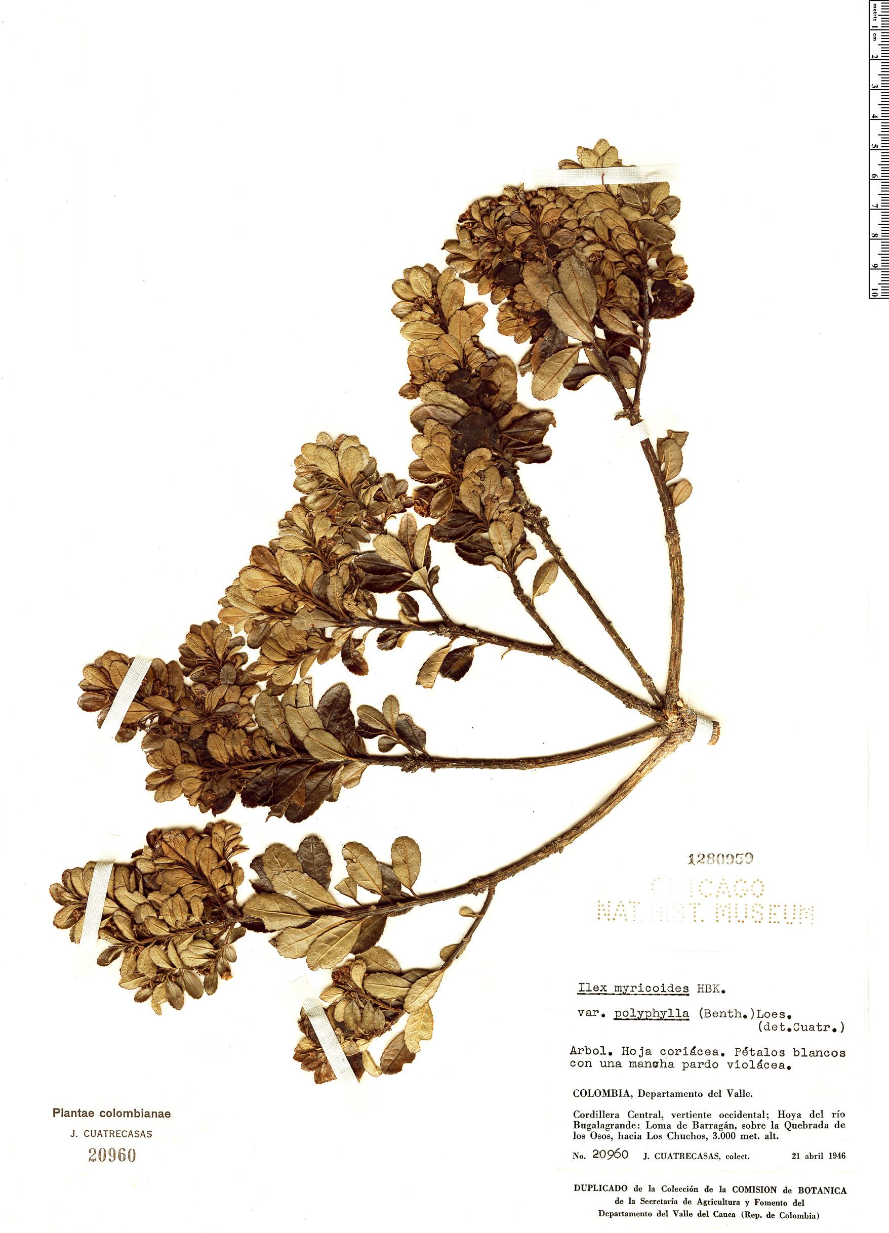 Specimen: Ilex myricoides