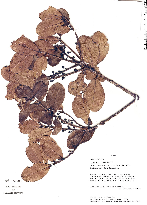 Specimen: Ilex scopulorum