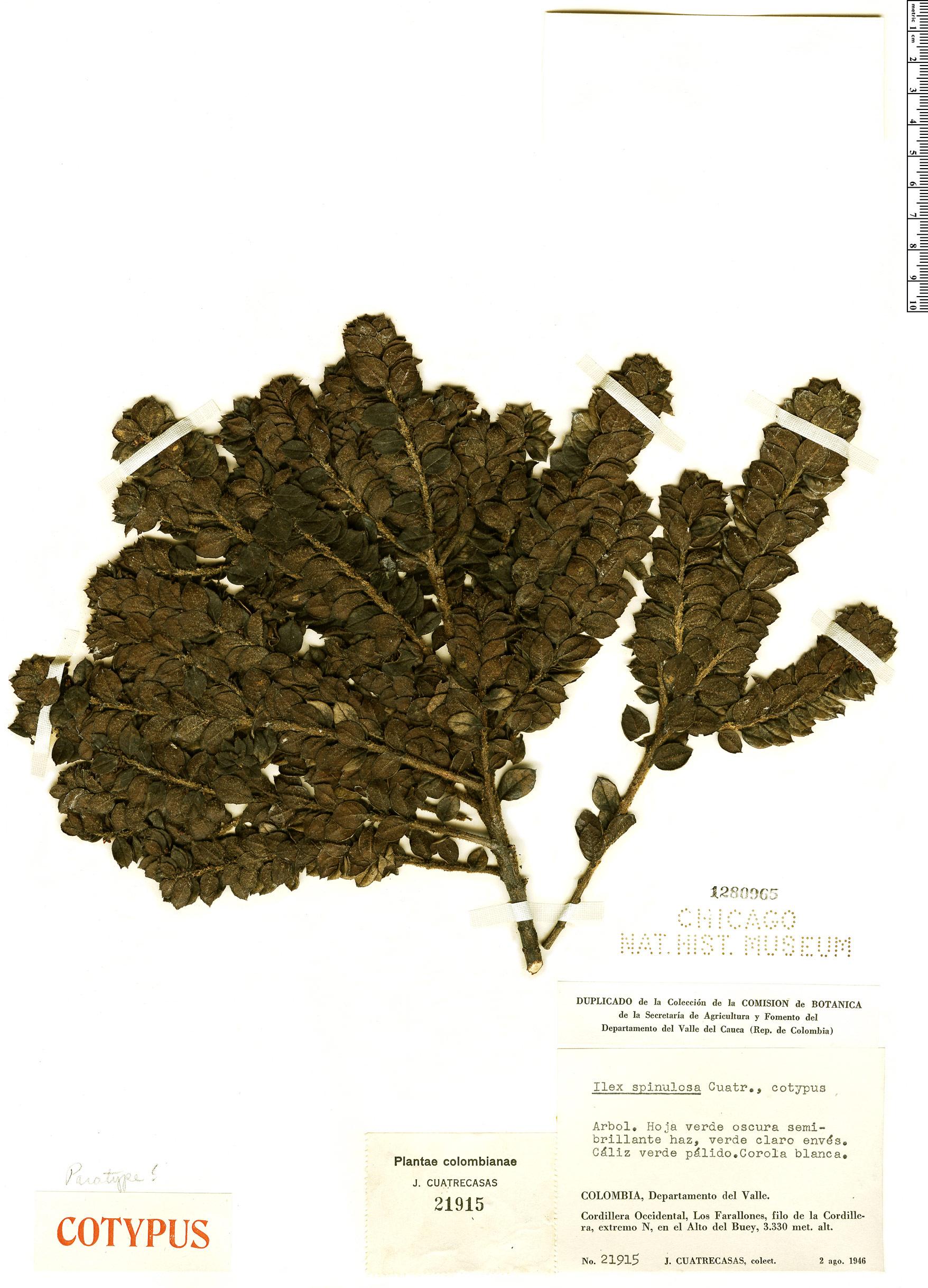 Specimen: Ilex spinulosa